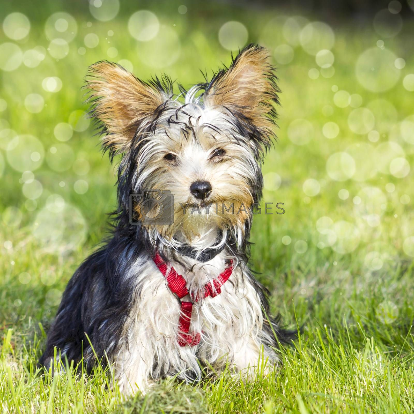 Royalty free image of yorkshire terrier by miradrozdowski