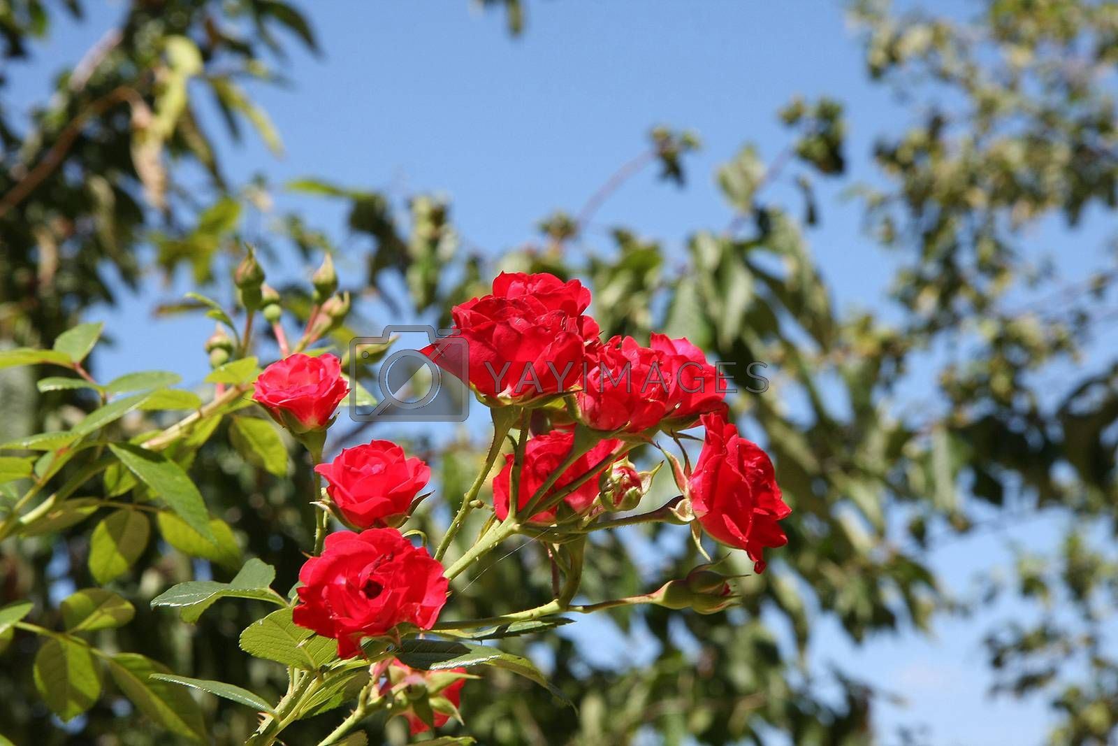 Close up of red rose in village garden