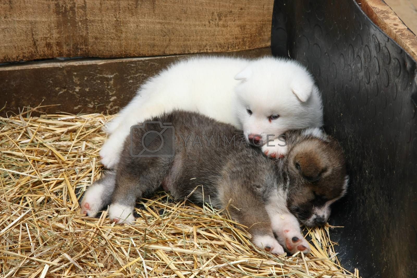 Cute  newborn Akita Inu puppies resting after game