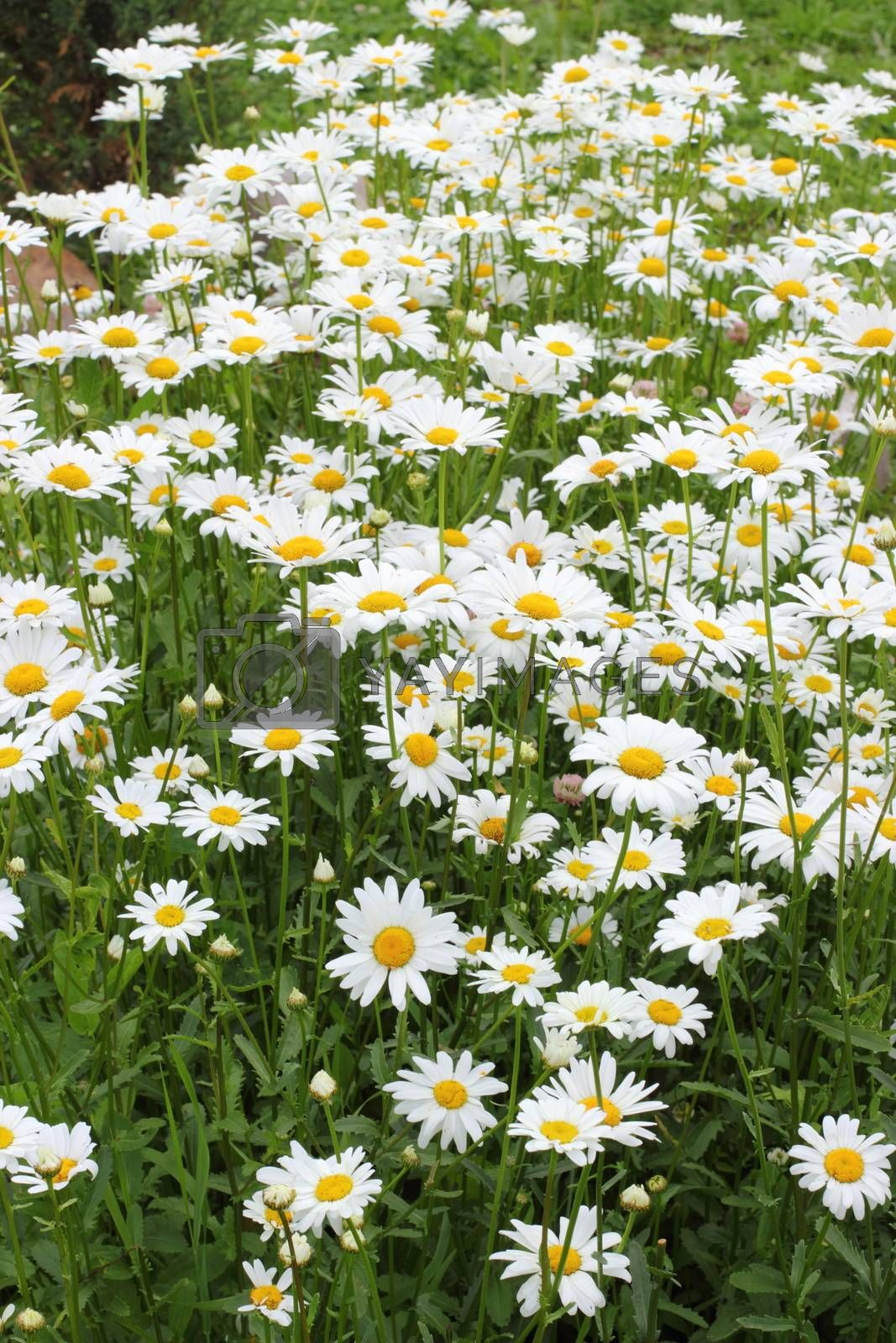 Many daisies in the garden Background of flowers