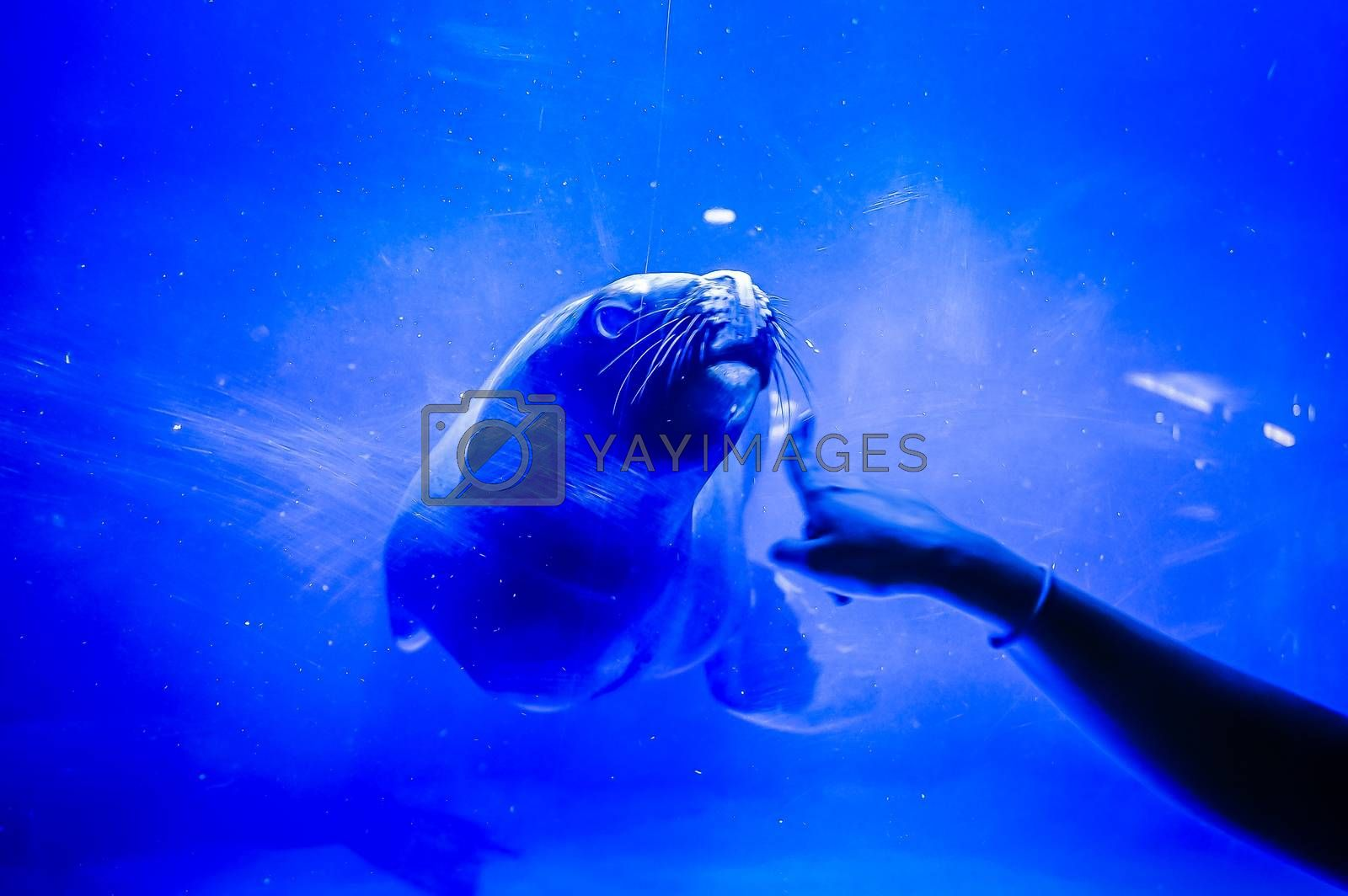 Lovely seal in Hanwah Aqua Planet Jeju, located nearby Seopjikoji and offers versitle features, including an aquarium as the main attraction, Marine Science, Kiz Planet and many more convenience facilities.