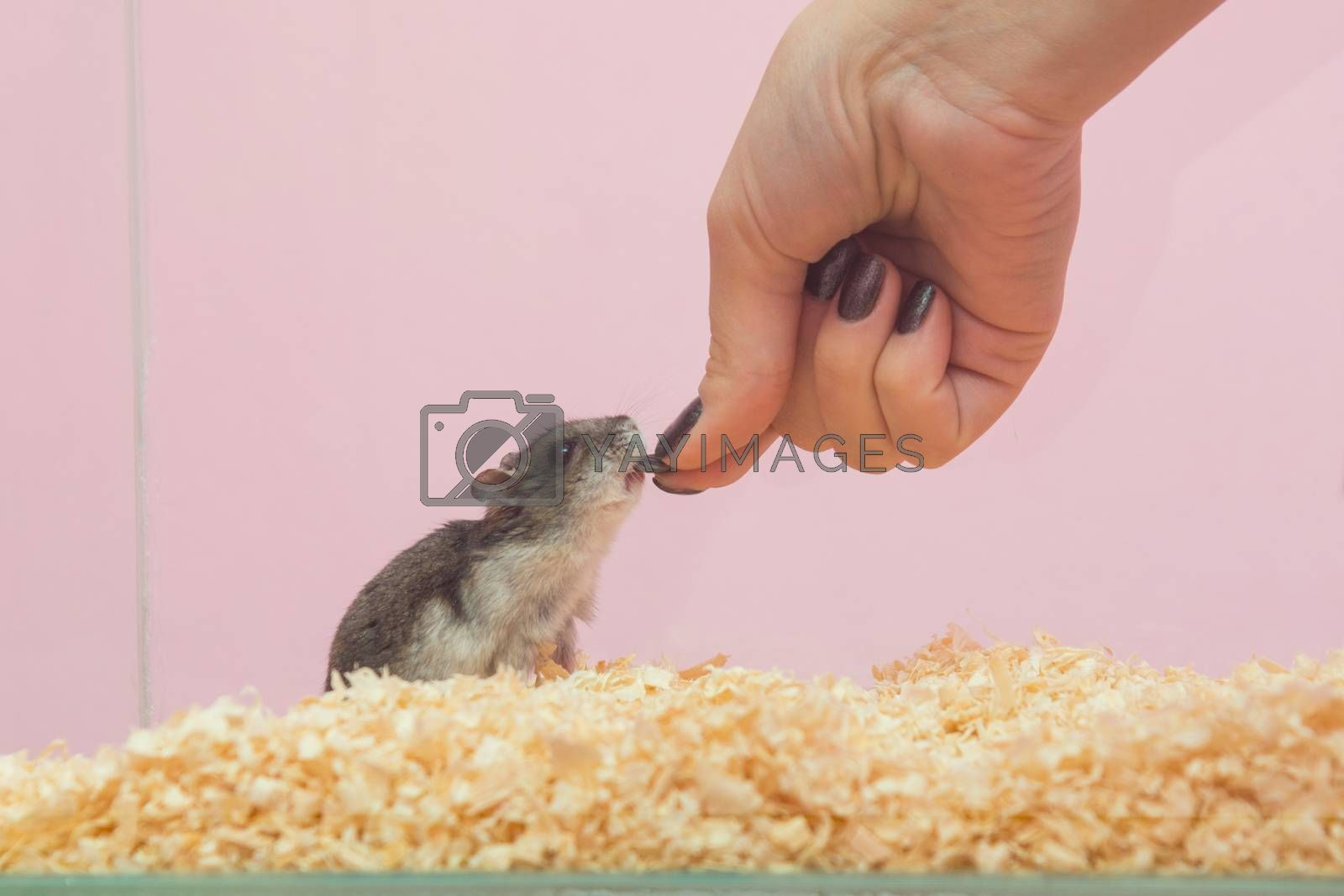 She feeds the hamster seeds, close-up