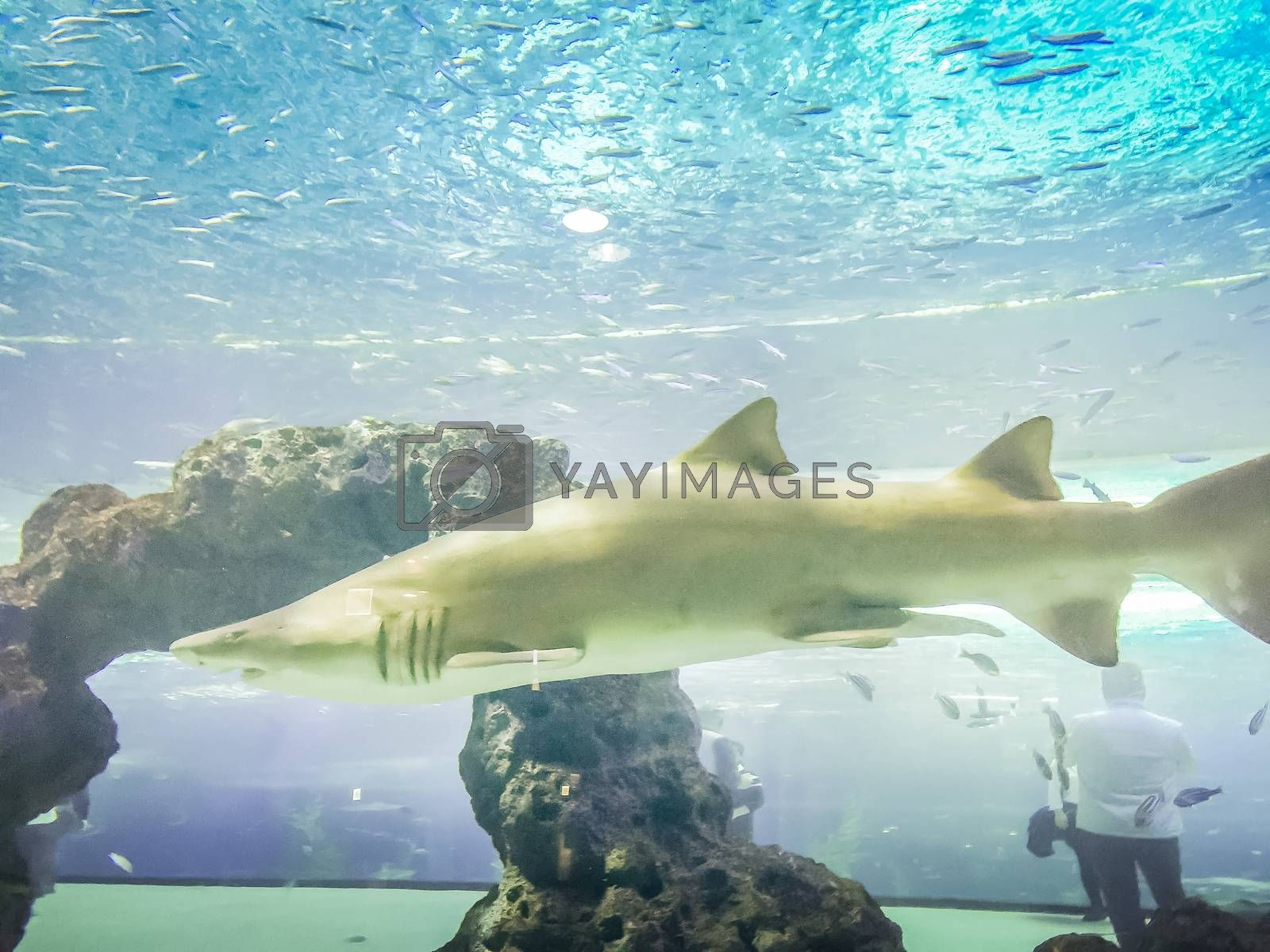 Shark in Hanwah Aqua Planet Jeju, located nearby Seopjikoji and offers versitle features, including an aquarium as the main attraction, Marine Science, Kiz Planet and many more convenience facilities.