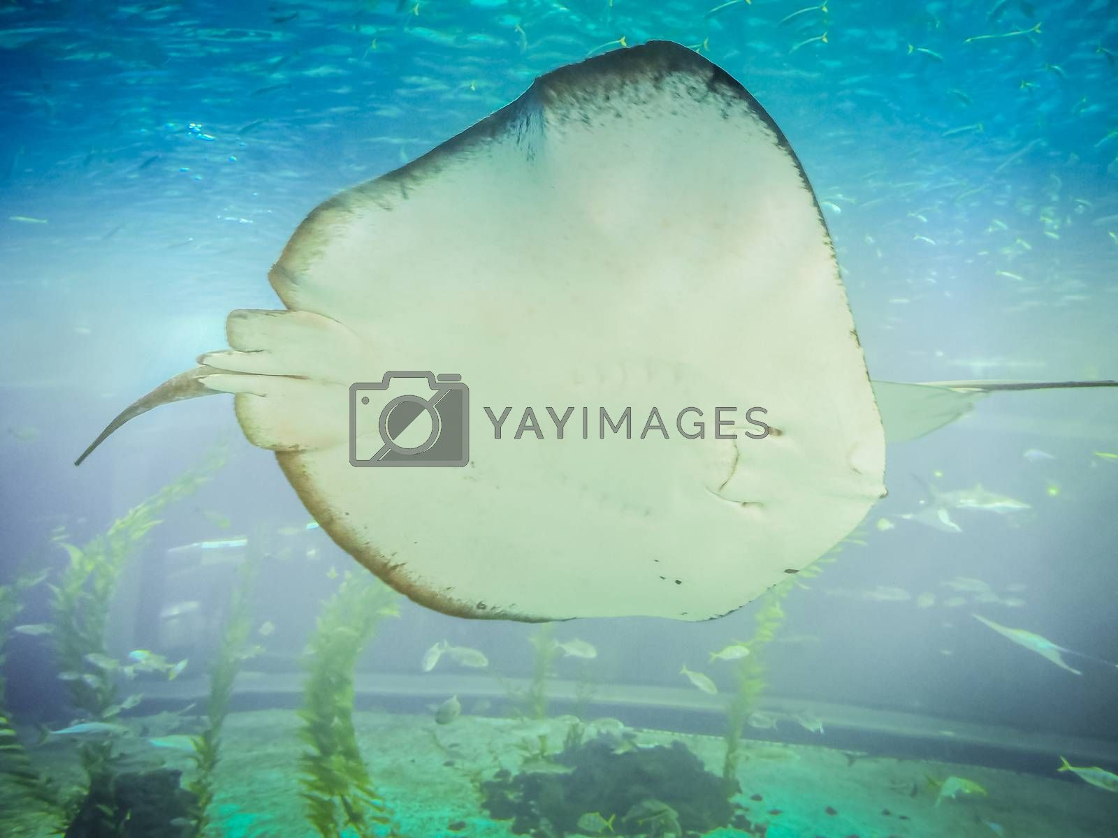 Stringray in Hanwah Aqua Planet Jeju, located nearby Seopjikoji and offers versitle features, including an aquarium as the main attraction, Marine Science, Kiz Planet and many more convenience facilities.