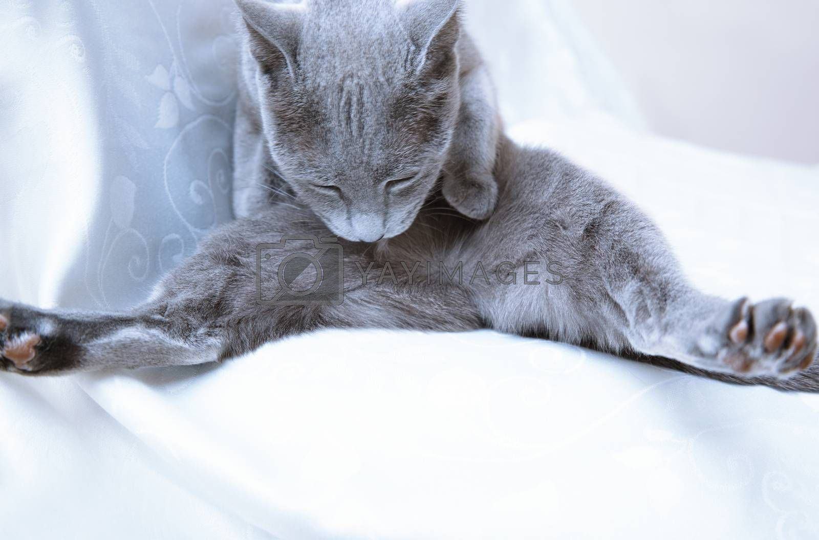 Blue cat making hygienic action at home