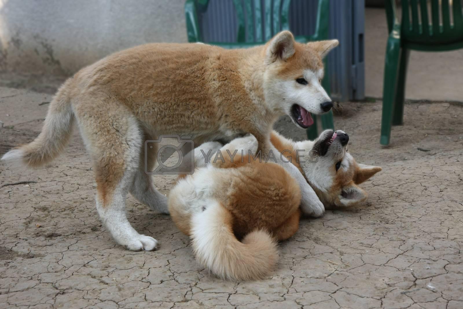 Cute Akita Inu puppies playing in the yard