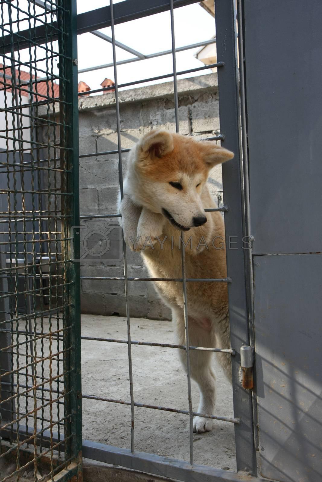 Cute Akita Inu puppy by tdjoric