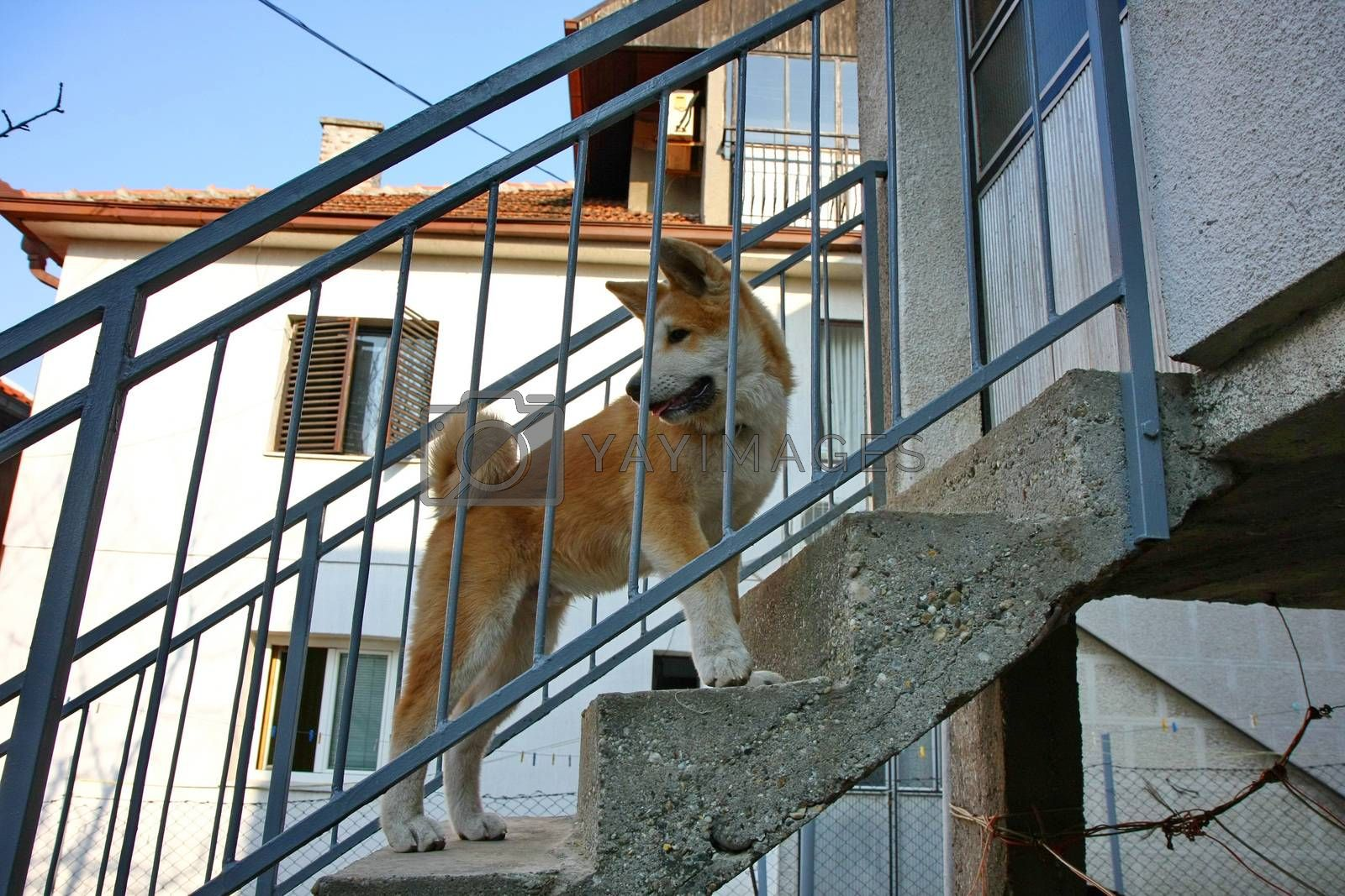 Curious Akita Inu puppy visiting posing on the stairs