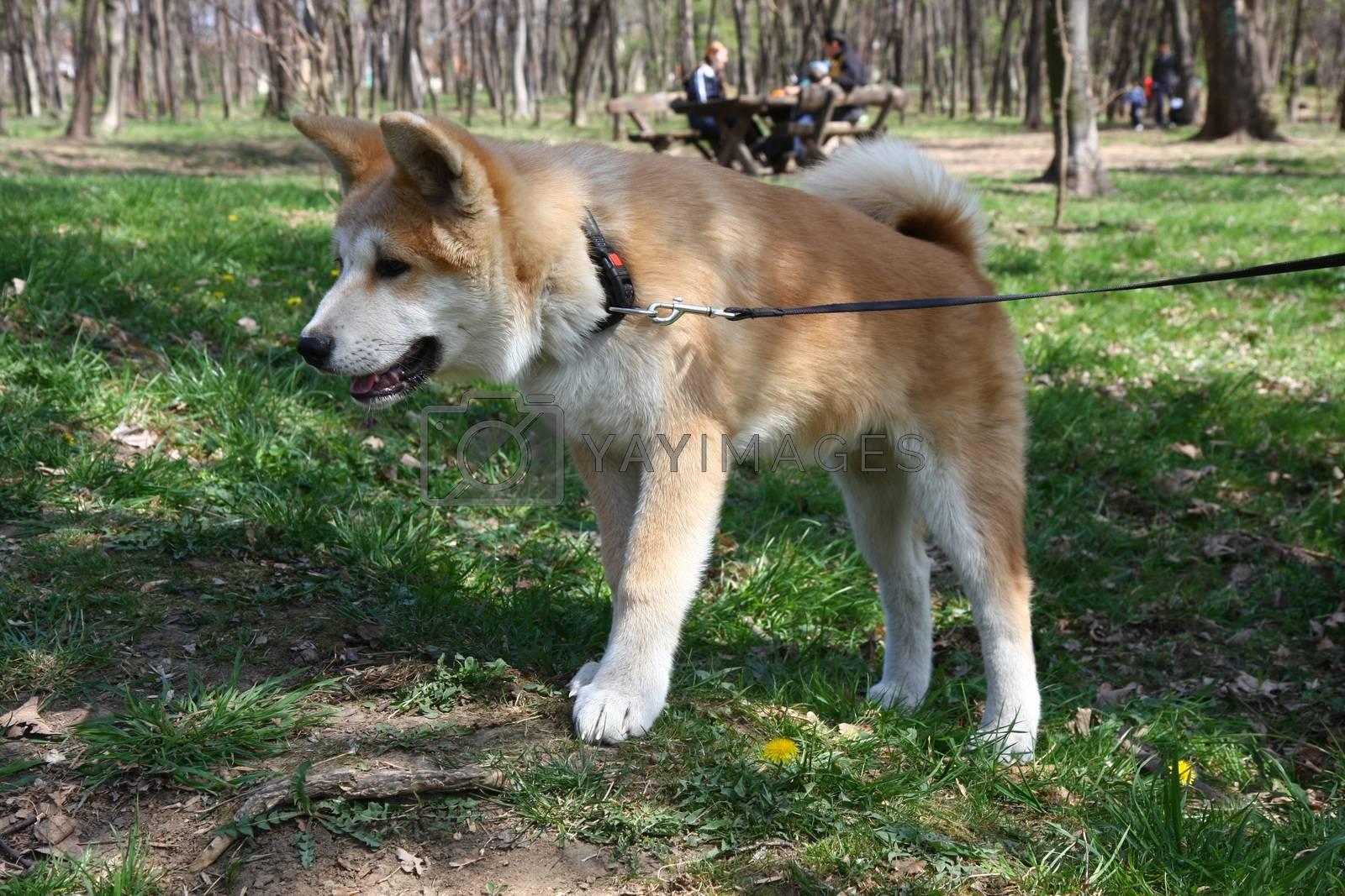Curious Akita Inu puppy walking in public park