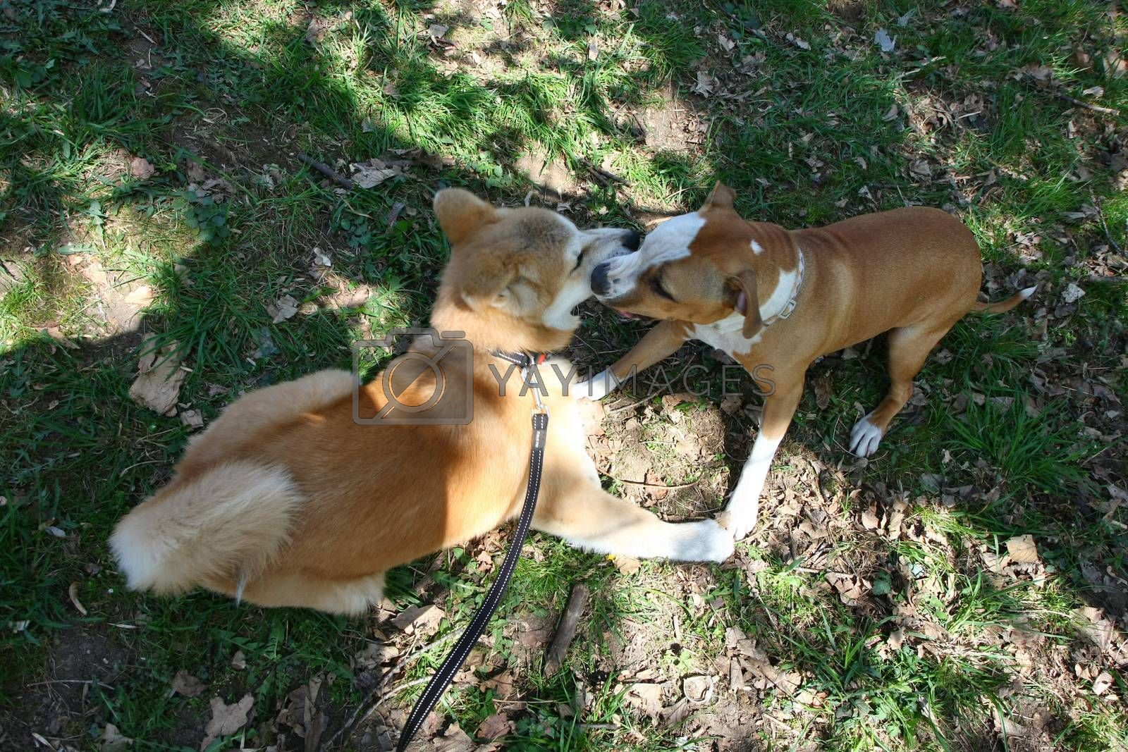Puppies of Akita Inu and English setter palying in public park
