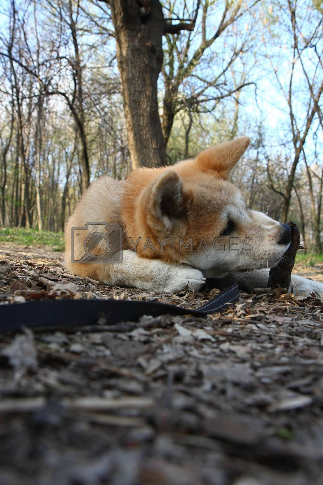 Puppy of Japanese dog Akita Inu having fun with piece of wood