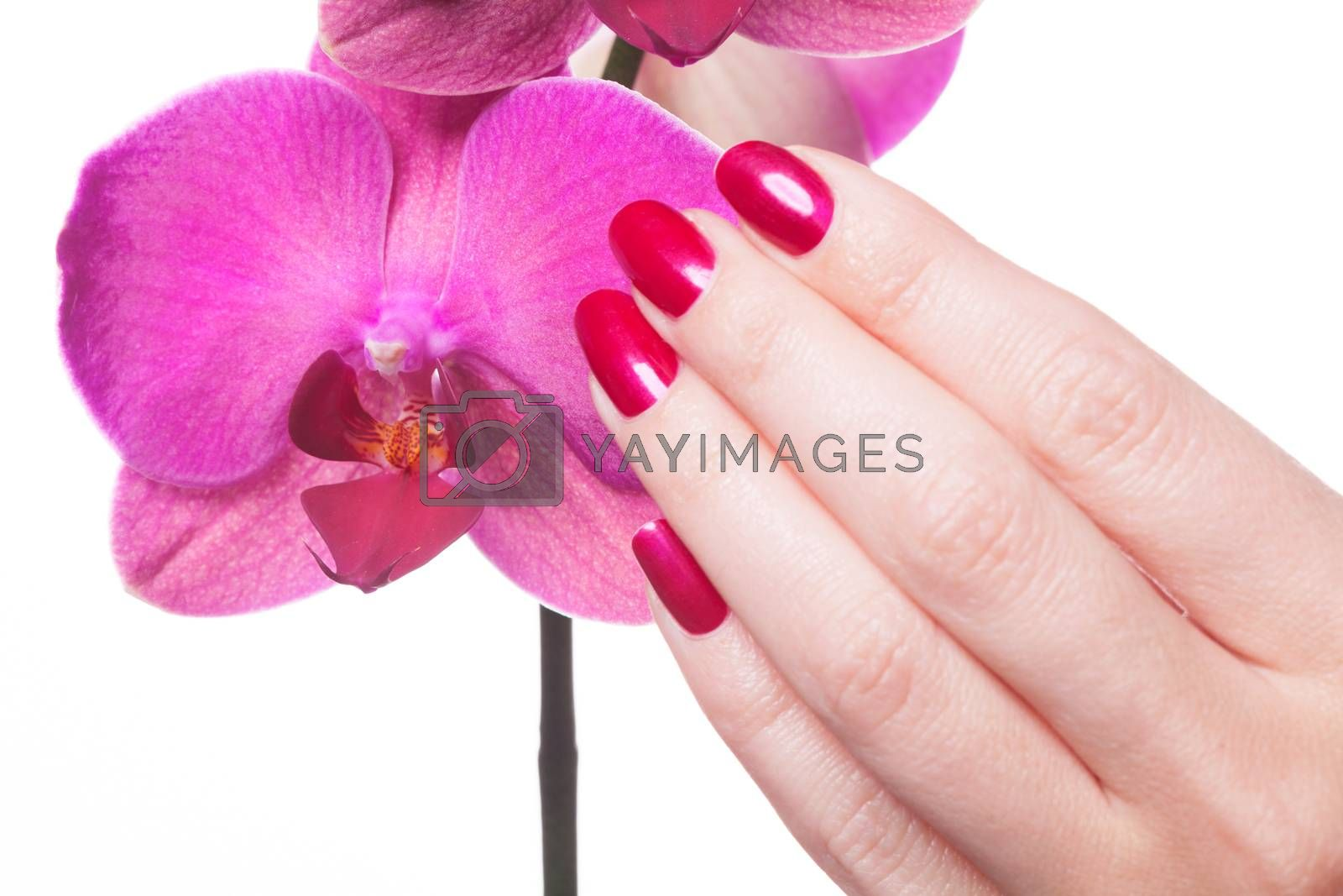 Manicured nails painted a deep red caress dark pink flower pedals against white background
