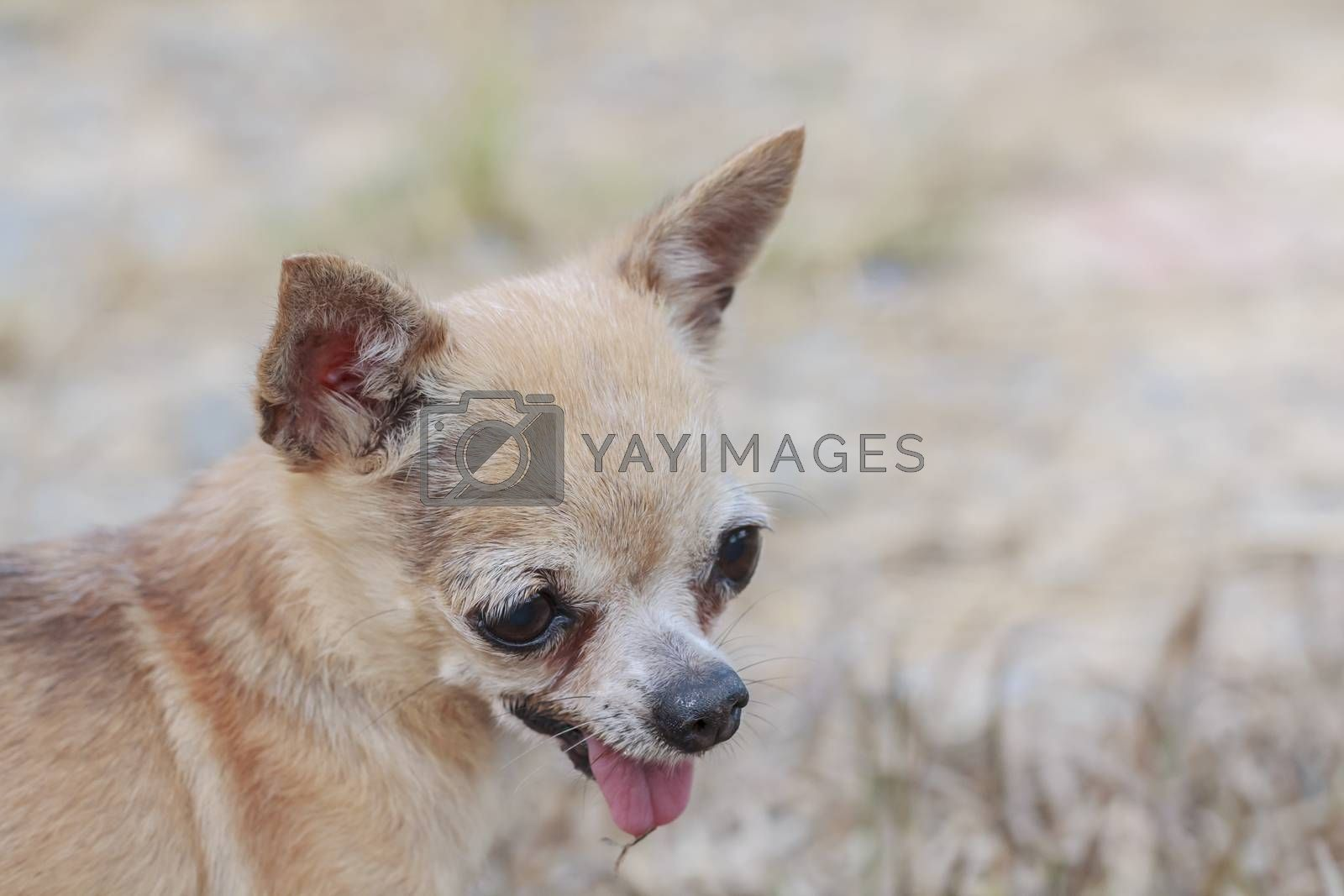 Portrait brown chihuahua dog