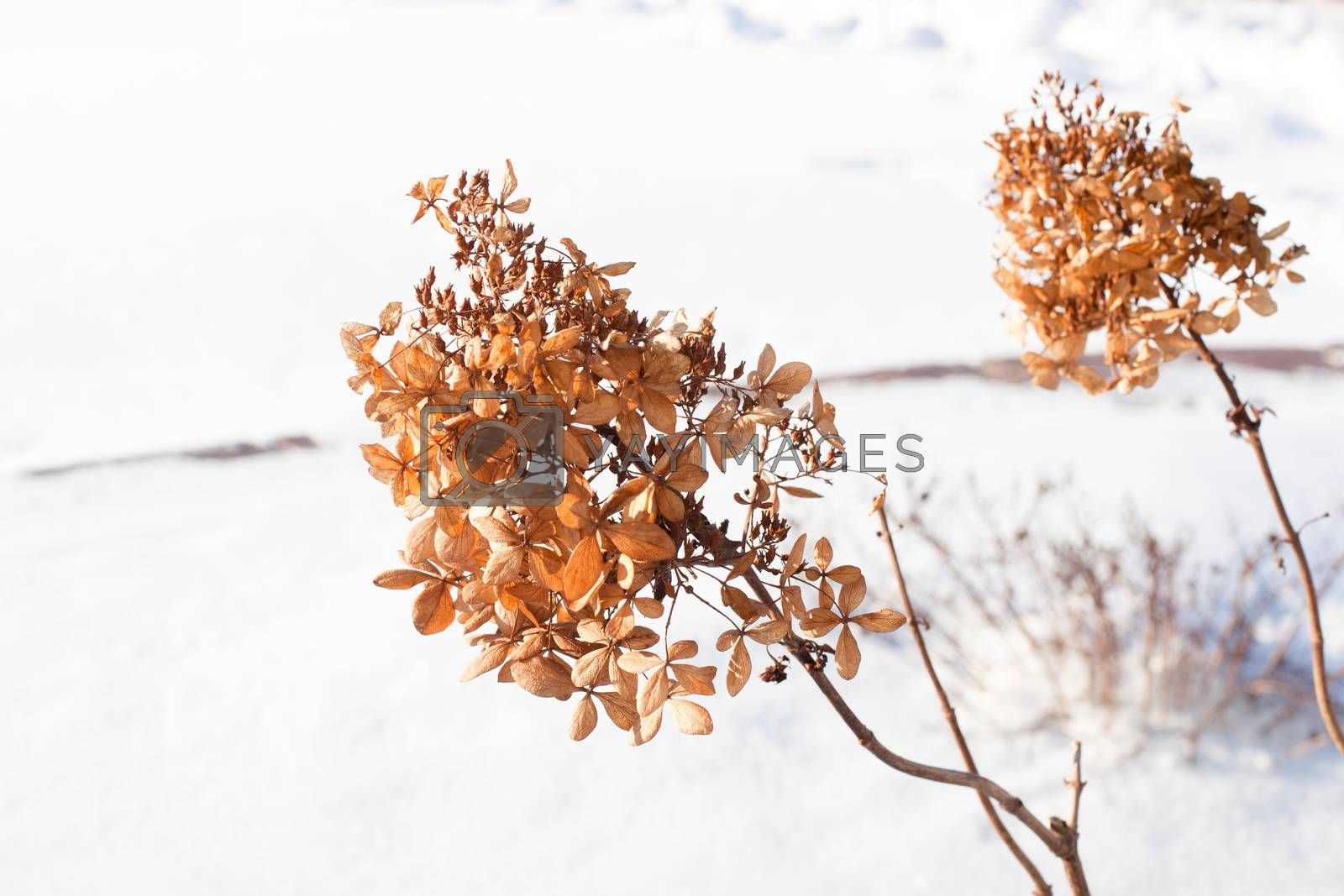 Two yellow dry plants in snow