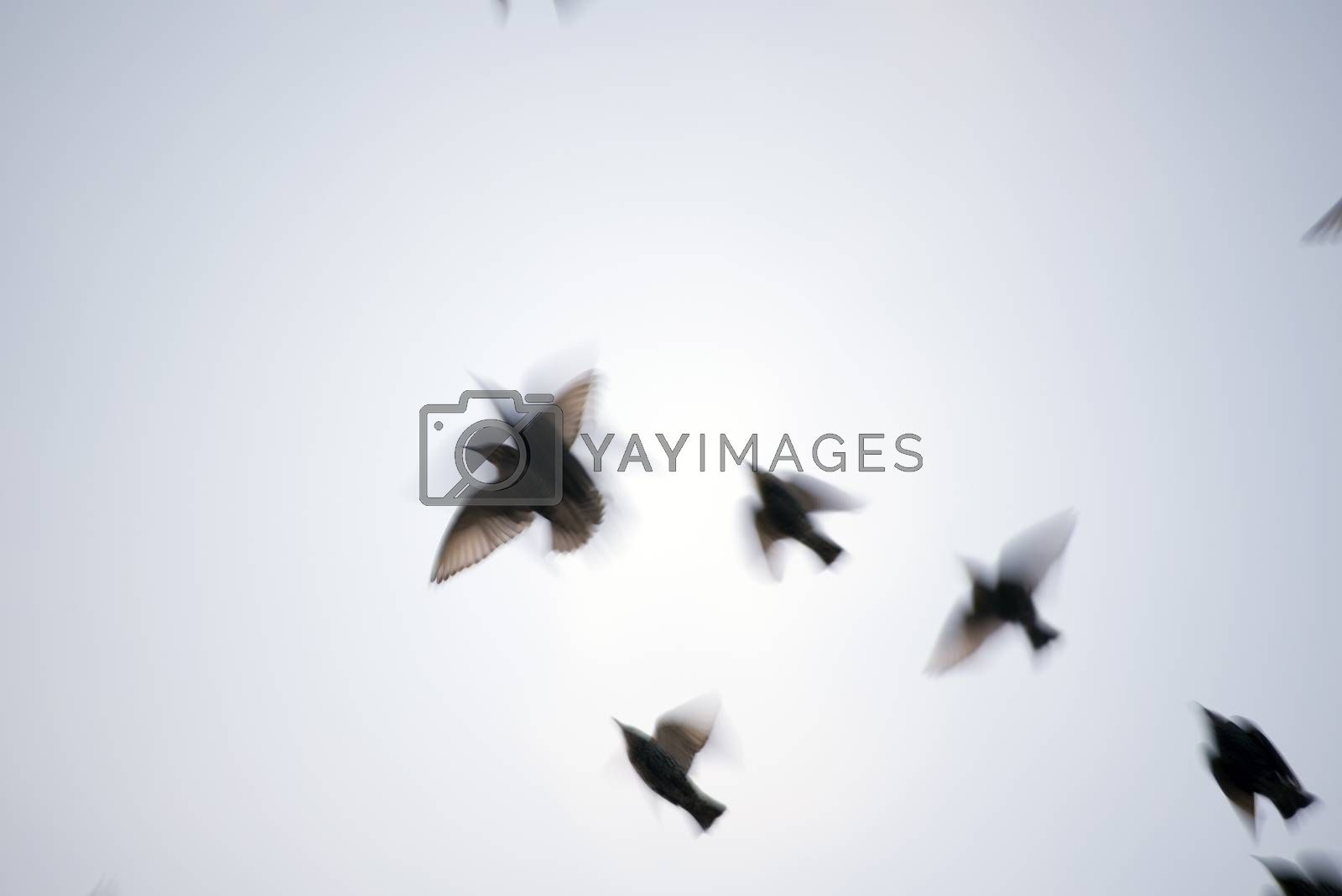 starlings in blurred motion fliying in the grey sky
