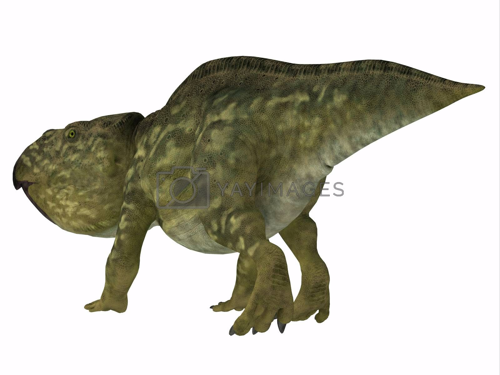 Udanoceratops was a Ceratopsian herbivorous dinosaur that lived in Mongolia in the Cretaceous Period.