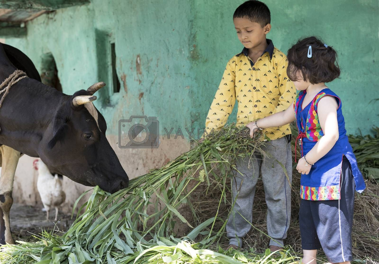 Cute little girl and her brother feeding a cow with grass outdoors in India.