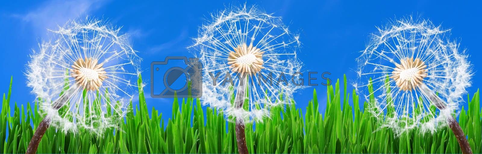 Panorama, 3 Dandelions in the grass against a blue sky with white clouds