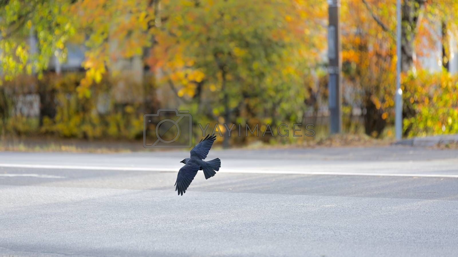Western Jackdaw flying over Road.
