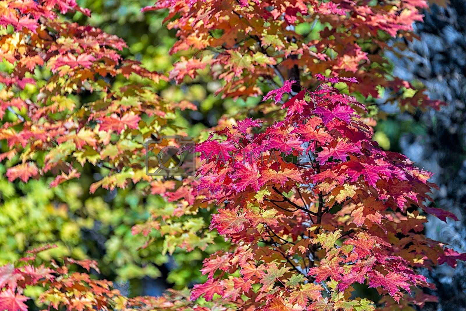 Maple Tree Leaves in Autumn.