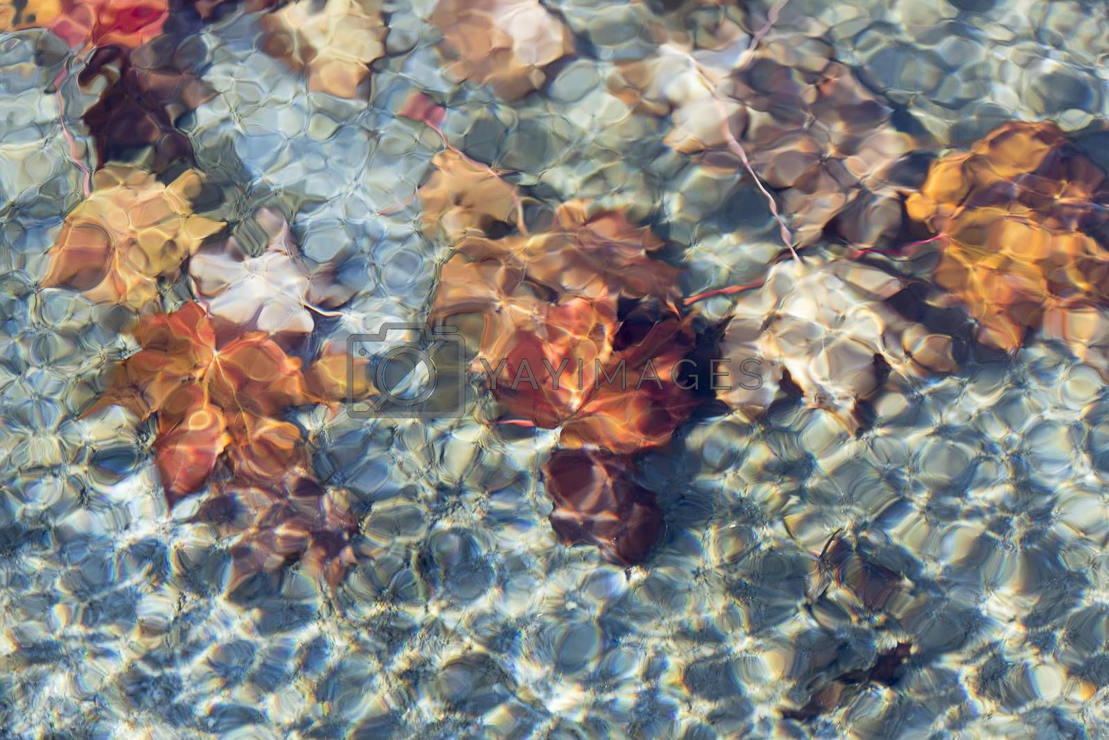Maple Leaves under Water.