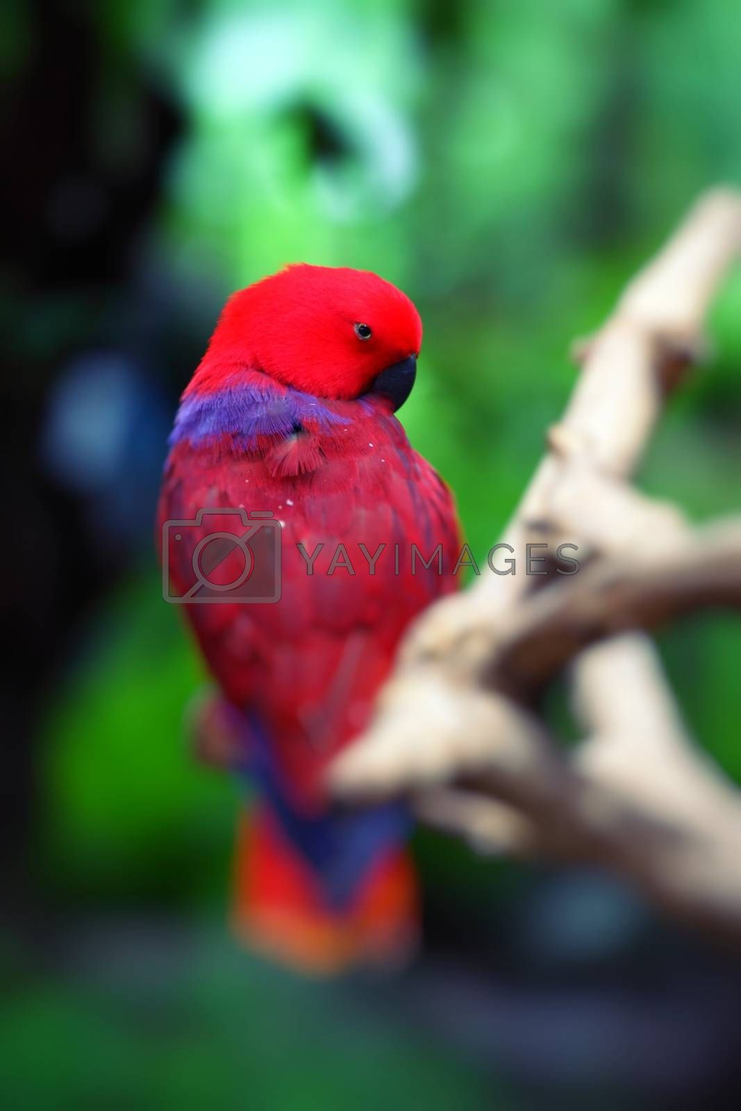 Red parrot over natural background.