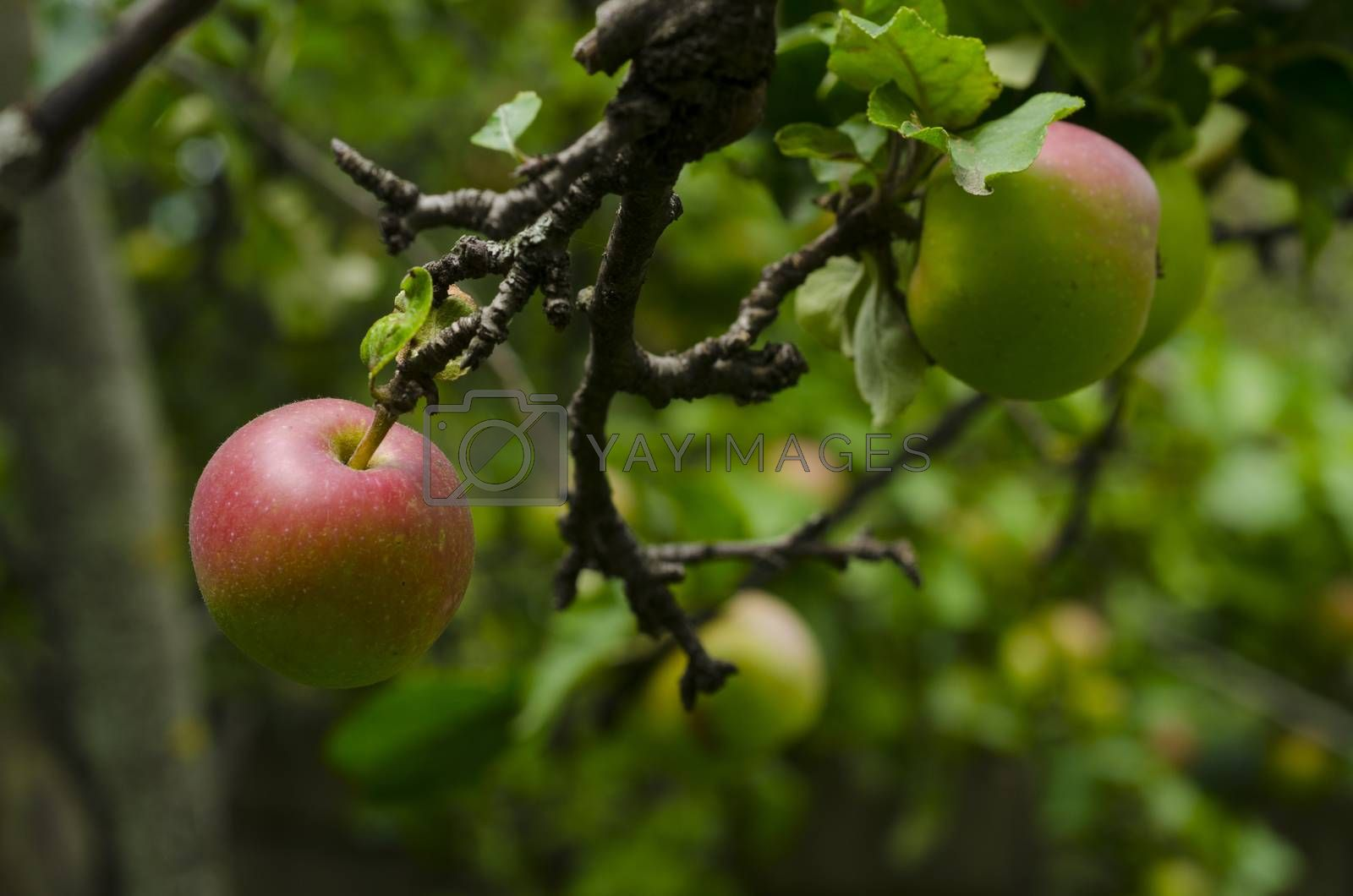 Green apples on a branch ready to be harvested, outdoors, selective focus. Azerbaijan. Sheki