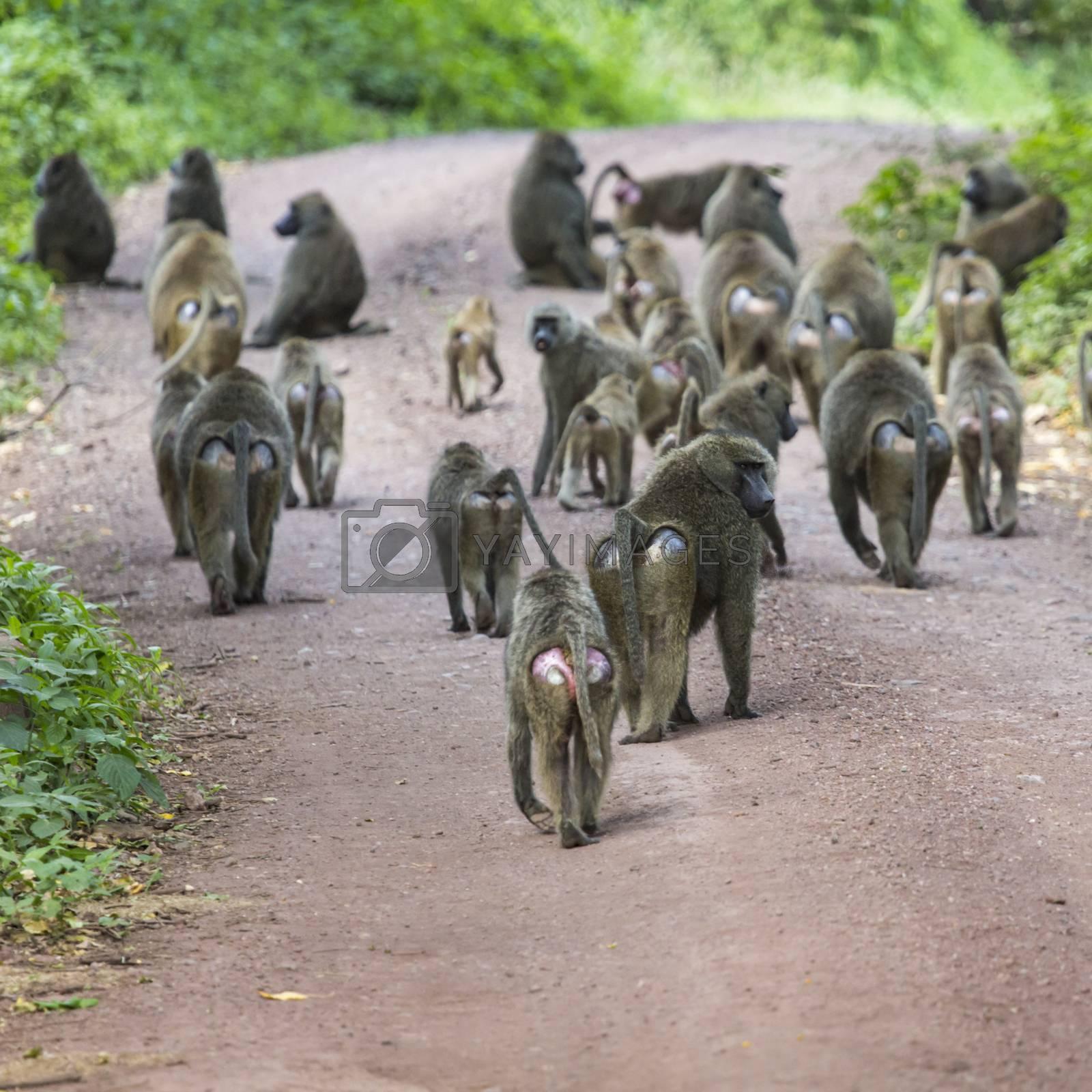Group of Baboon monkeys in African bush. Lake Manyara National Park in Tanzania