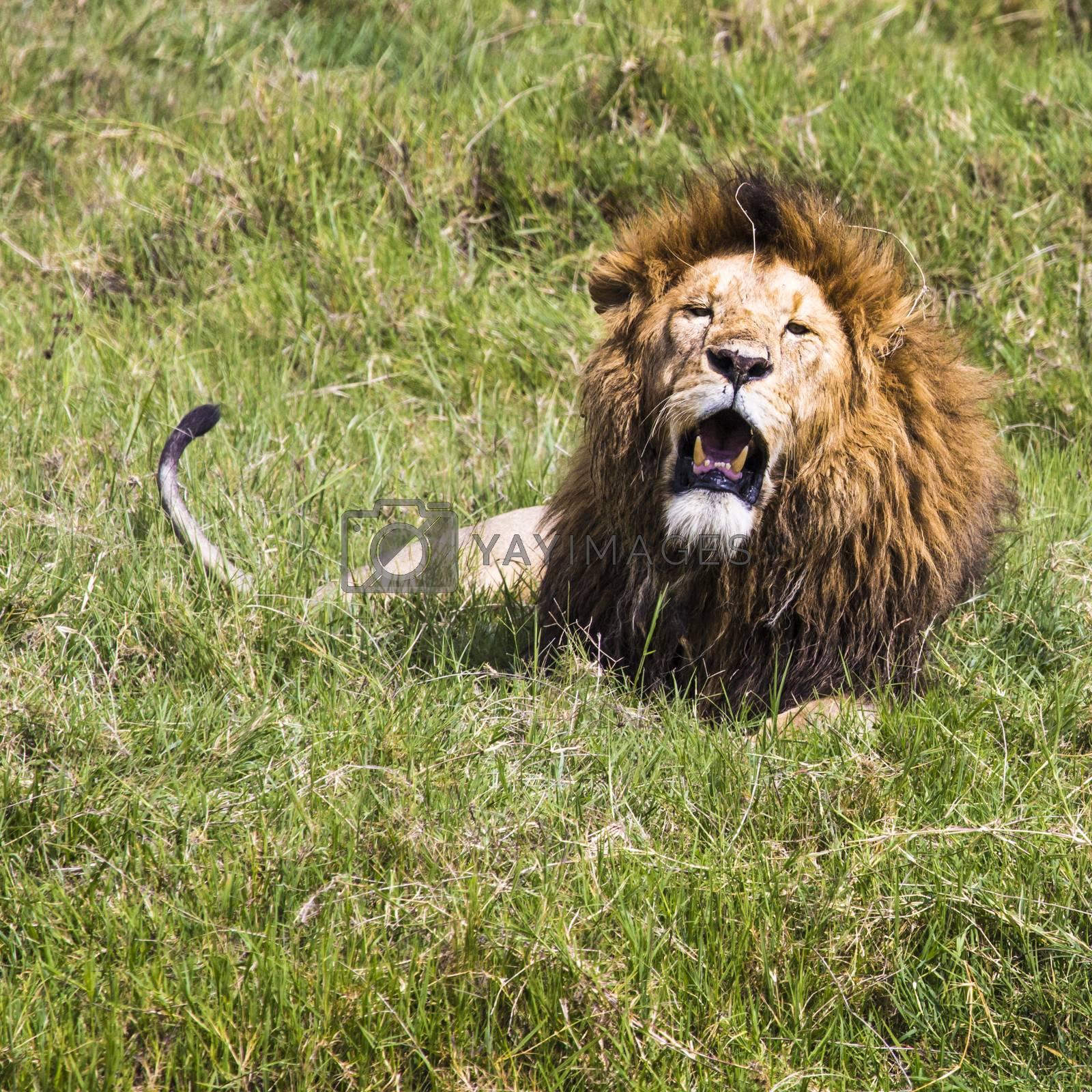 Big Lion showing his dangerous teeth in Masai Mara, Kenya.