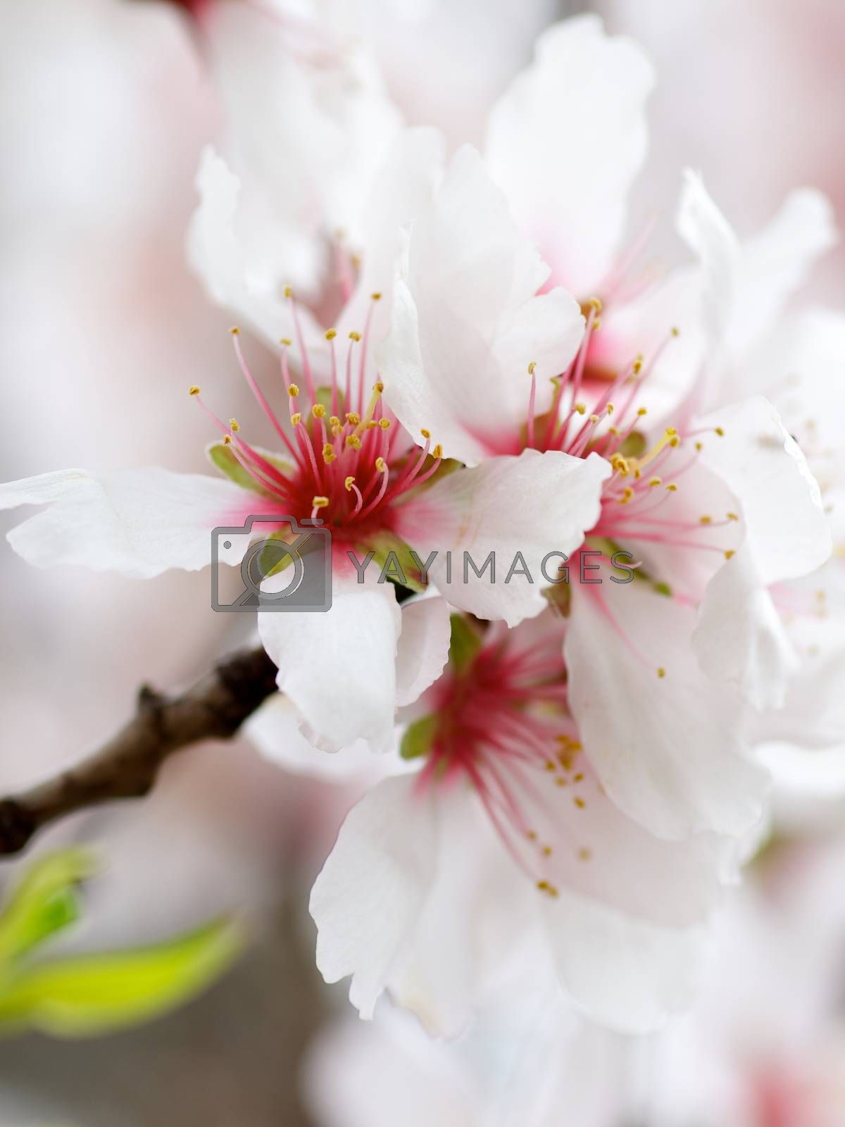 Beauty White and Red Cherry Blossoms on Blurred Cherry Flowers background. Focus on Pistil with Pollen