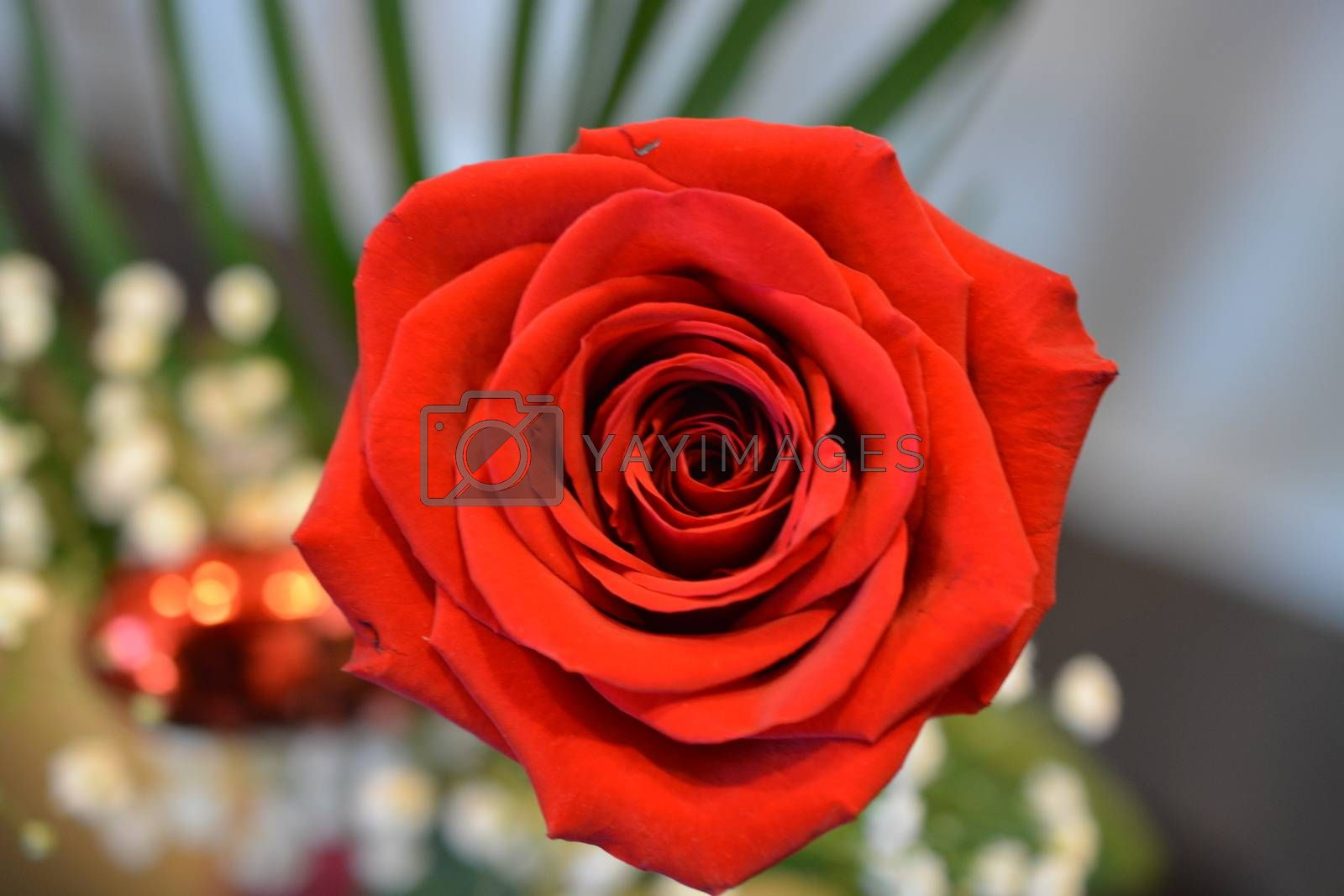 A red rose shown close up.