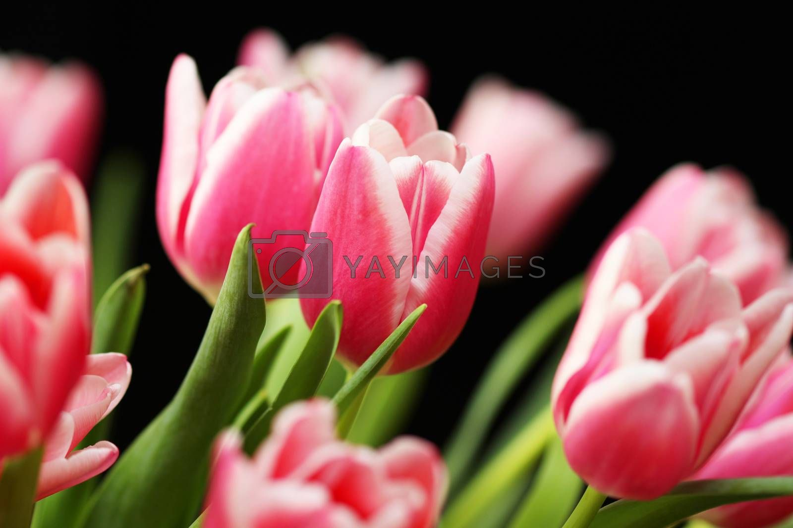 Beautiful bouquet pink tulip on dark background