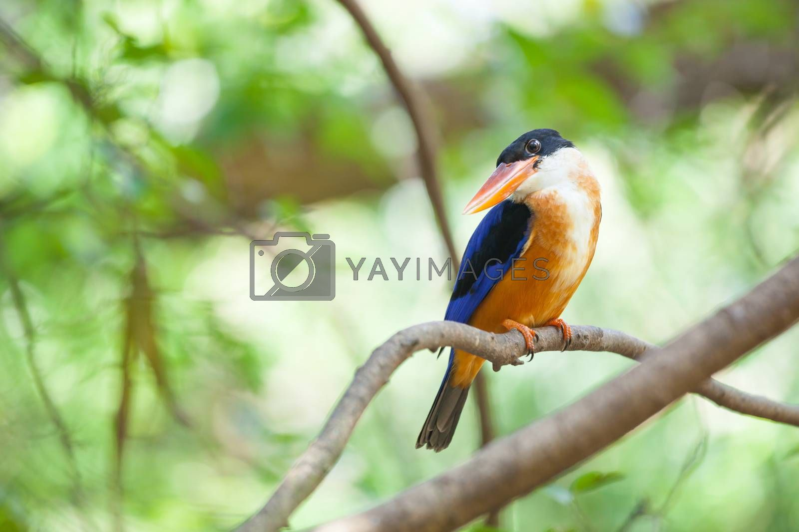 Beautiful blue Kingfisher bird sitting on a branch