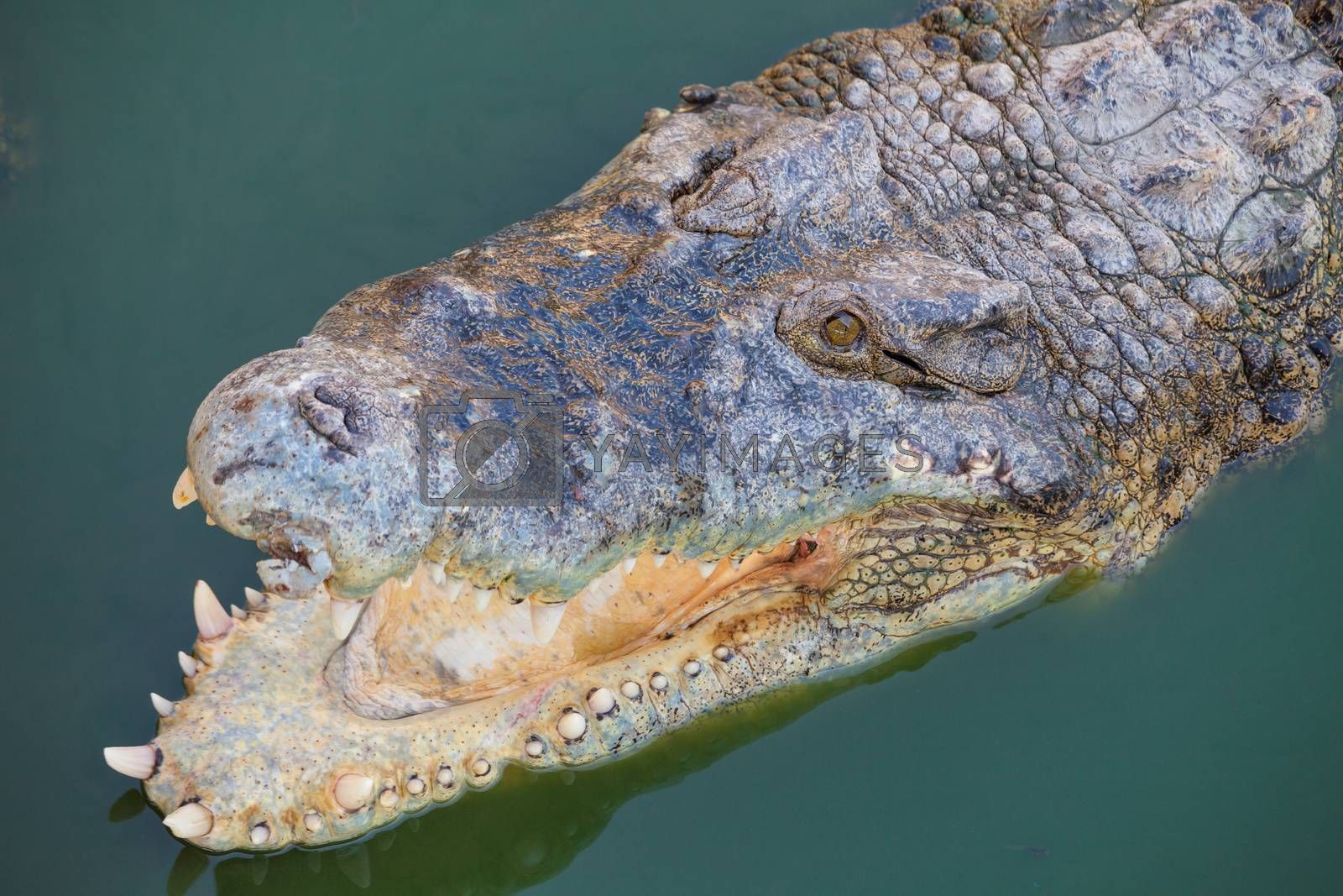 crocodile with open mouth resting in water