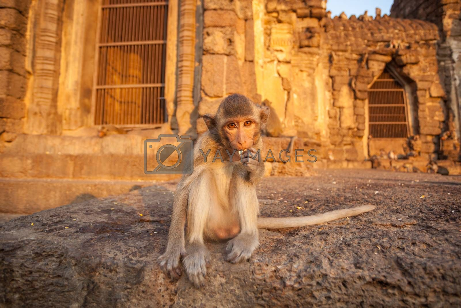 Baby monkeys in Thai Temple,Lopburi, Thailand.