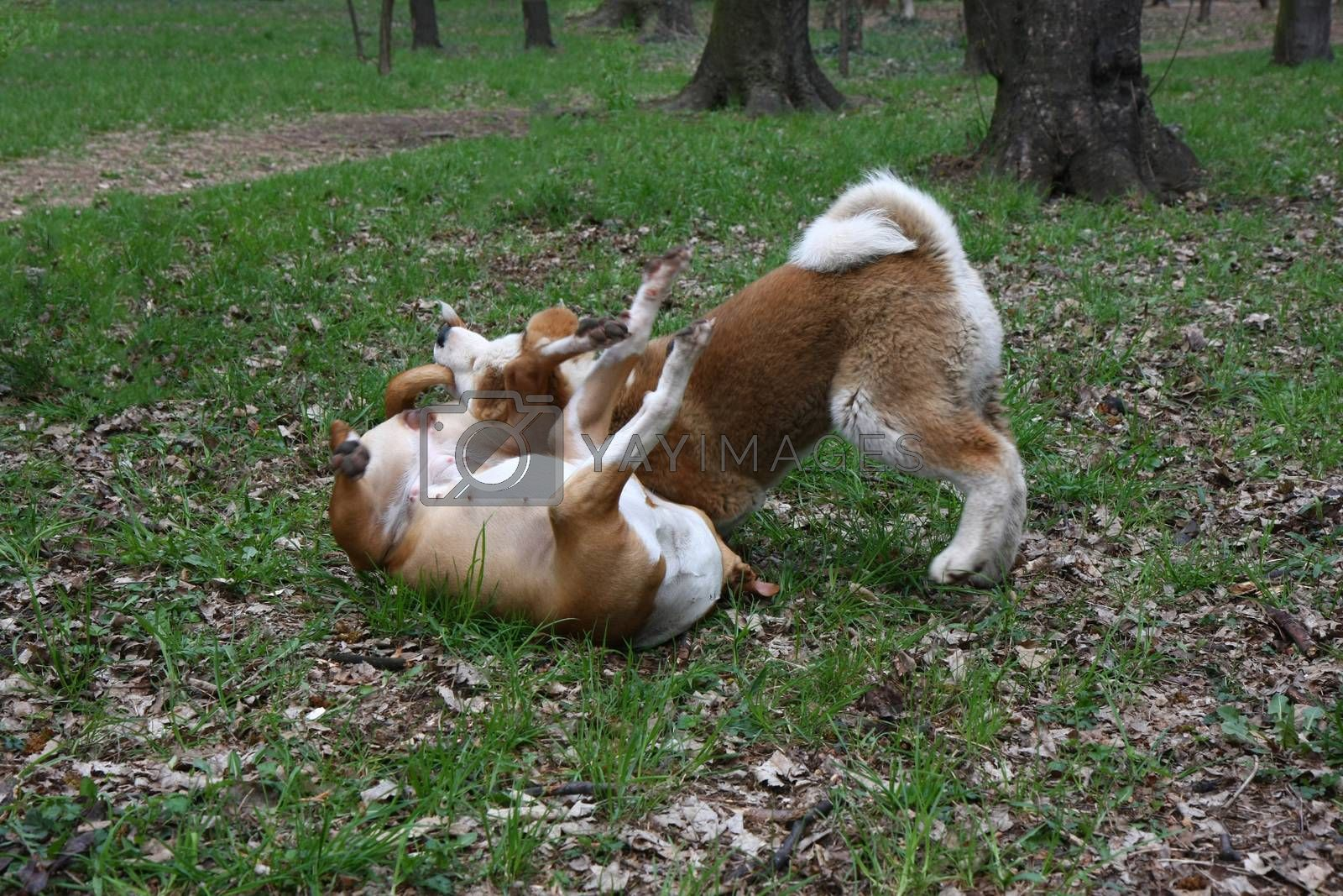 Dogs playing in public park by tdjoric