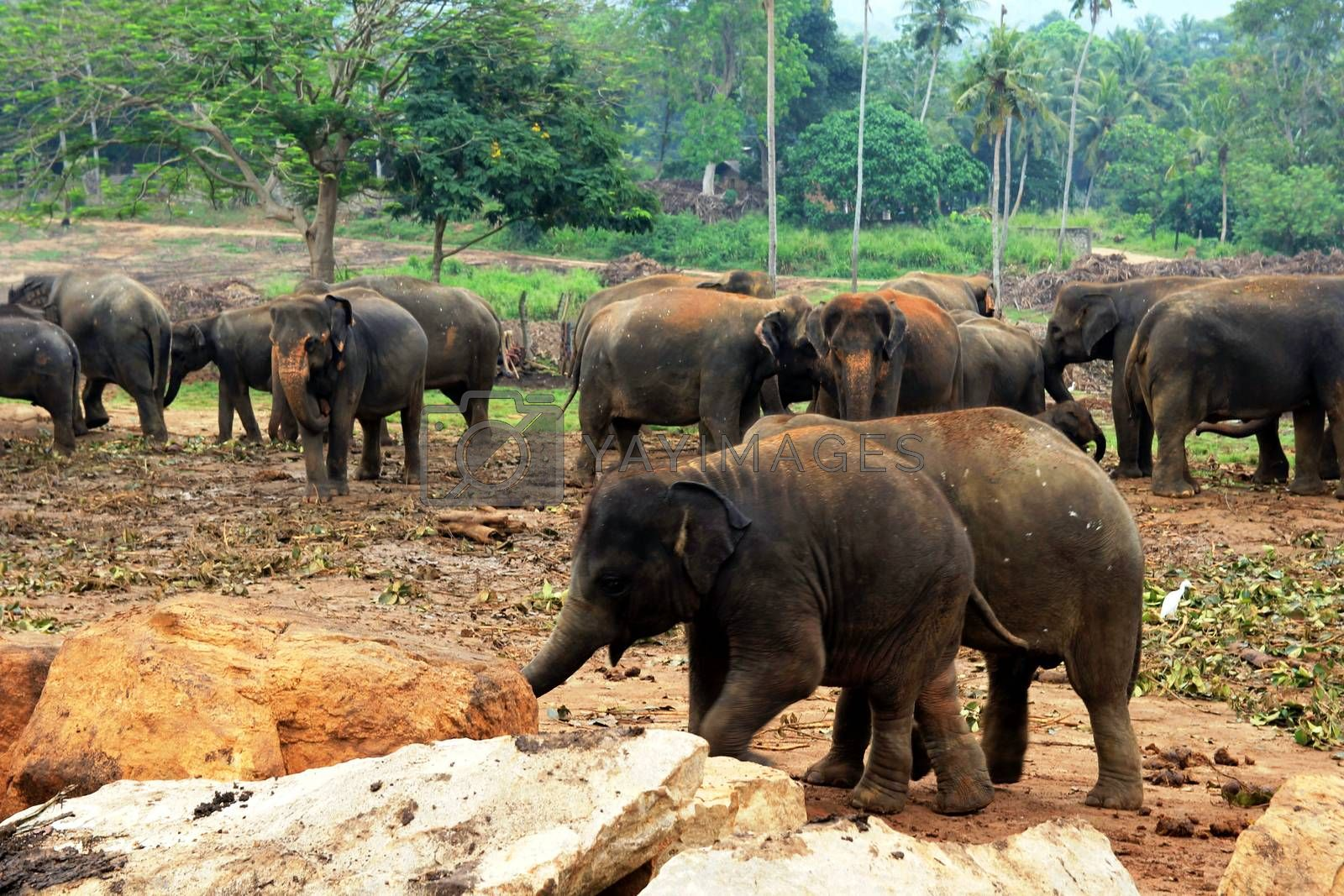 A large herd of brown elephants against the background of the jungle by mdsfotograf