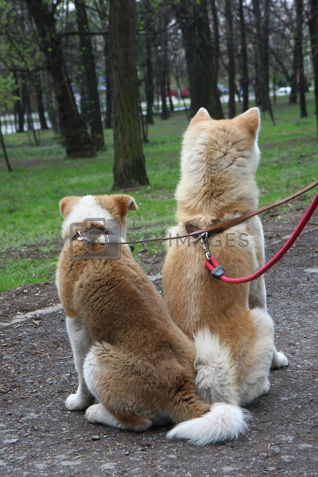 Female and puppy of Akita Inu by tdjoric