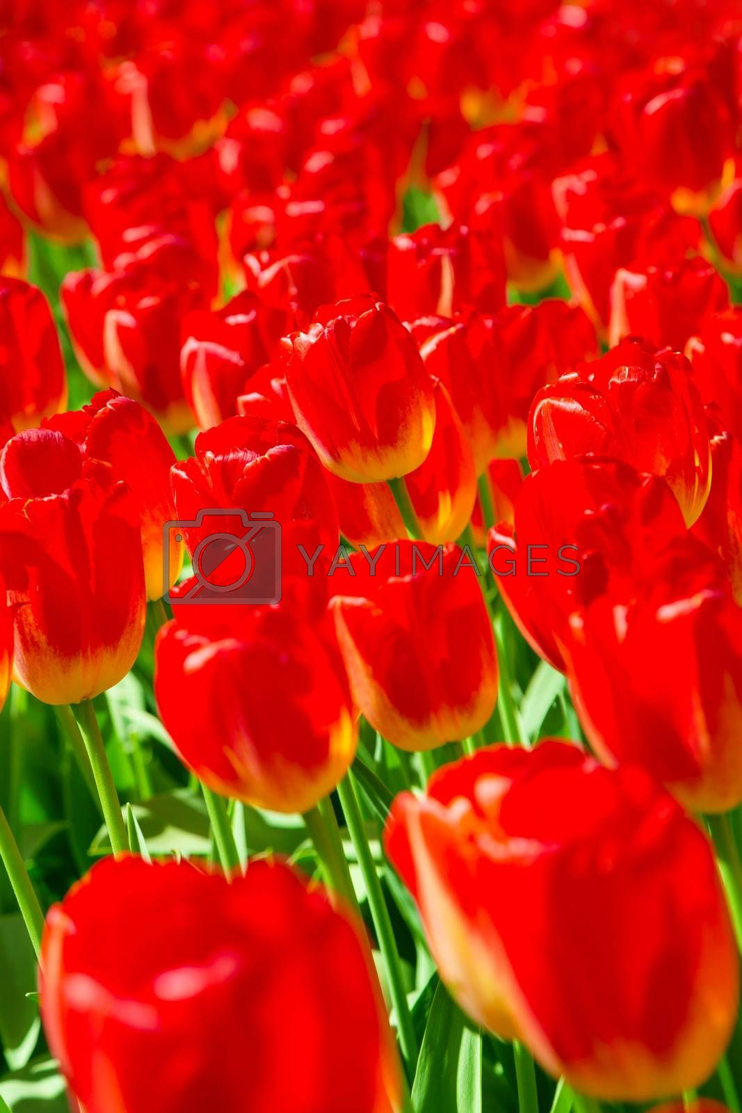 Tulip. Fresh red tulips field. Taken in closeup with a view from above. Flower field of colourful tulips in spring. Tulip background. Keukenhof garden, Netherlands. Group of blooming red tulips.