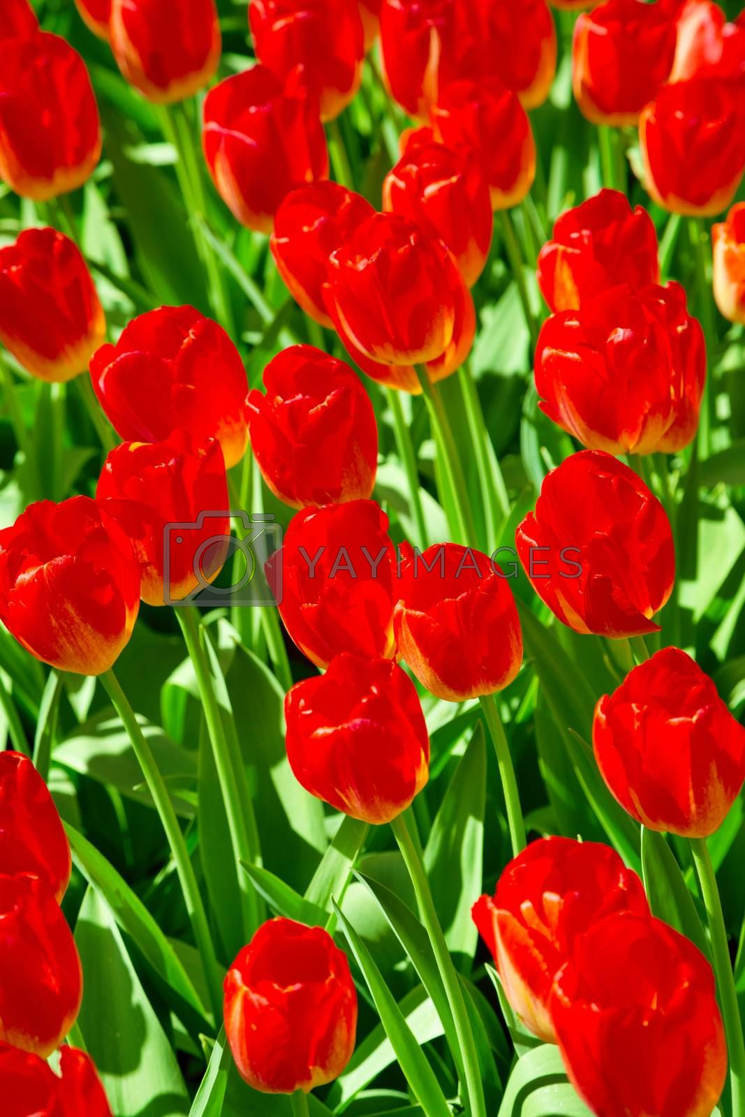 Tulip background. Tulips. Fresh orange tulips field. Taken in closeup with a view from above. Flower field of colourful tulips in spring. Keukenhof garden, Netherlands. Group of blooming red tulips.