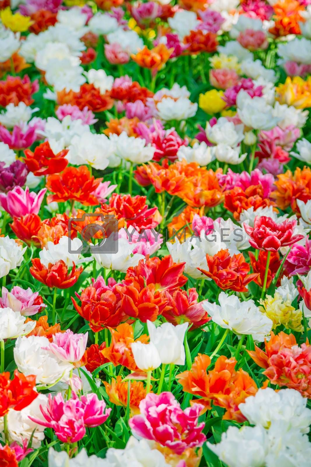 Tulip. Glade of red, pink, orange and white fresh tulips. Colorful tulips in the Keukenhof garden, Netherlands. Tulip Flower Field. Tulip background. Beautiful bouquet of tulips. Spring landscape.