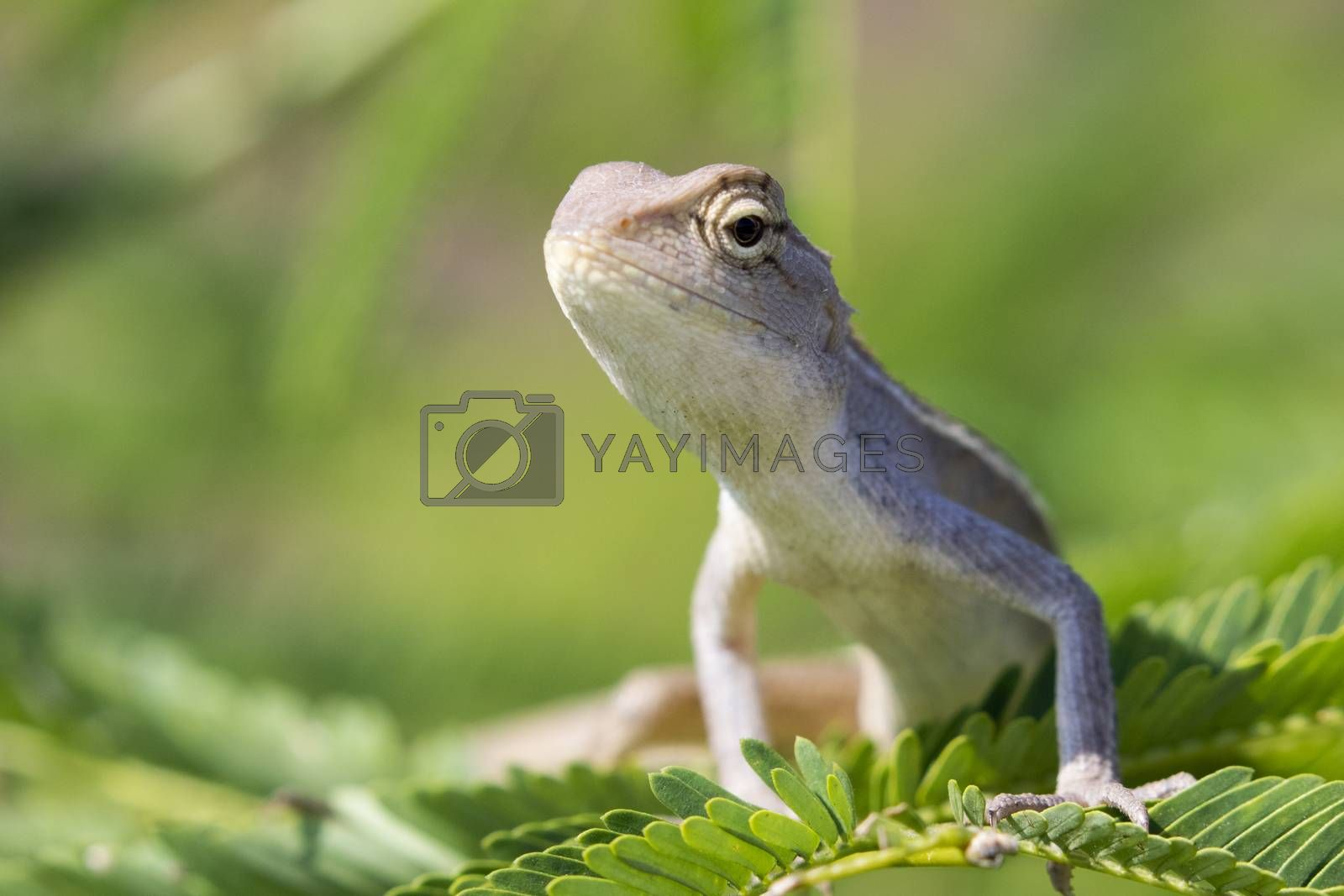 Image of chameleon on nature background.