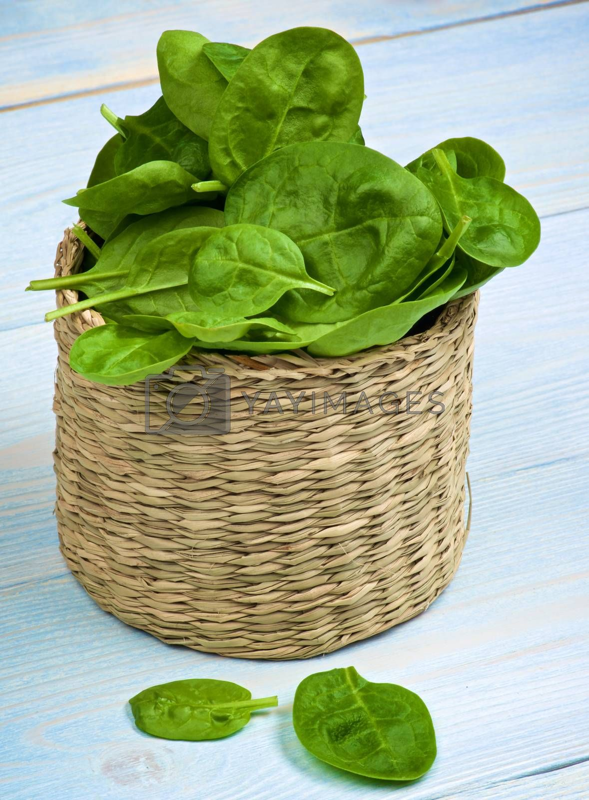 Heap of Small Raw Spinach Leafs in Wicker Cask closeup on Light Blue Wooden background