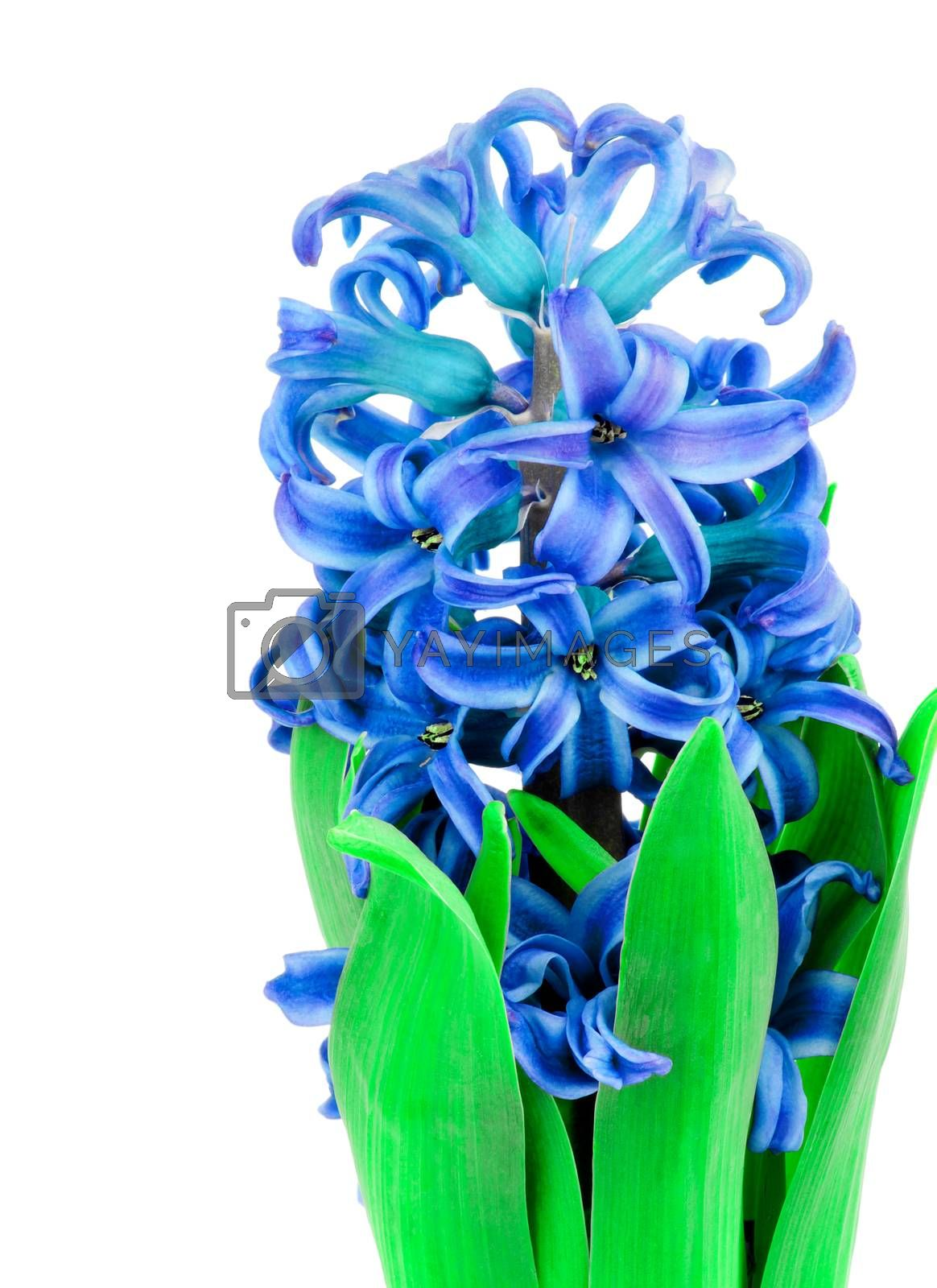 Beauty Blue Hyacinth with Leafs Isolated on White background