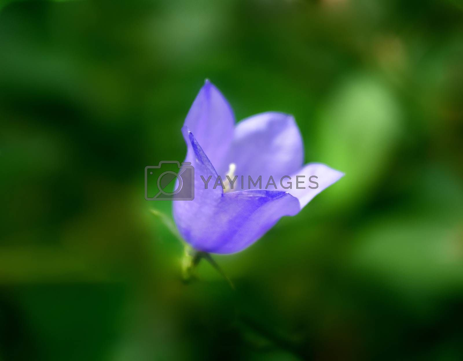 Beautiful Purple Bell Flower closeup on Natural Green Blurred background Outdoors. Focus on Edge of Petals