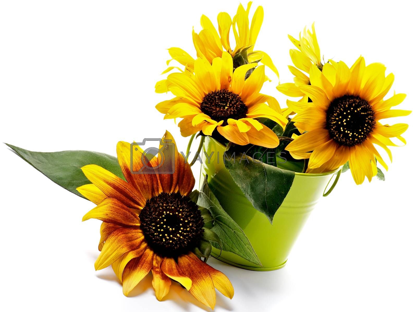 Arrangement of Beautiful Sunflowers with Leafs in Green Bucket closeup on White background
