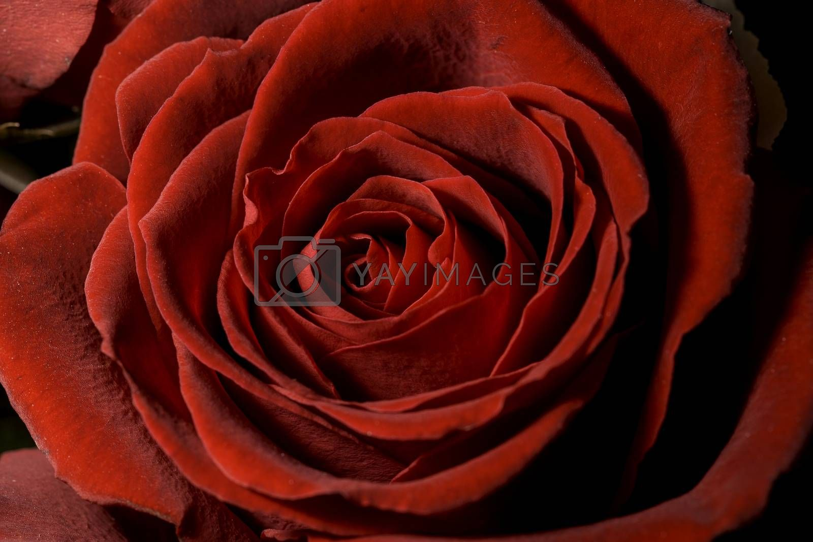 Red Rose Close Up by Emmoth