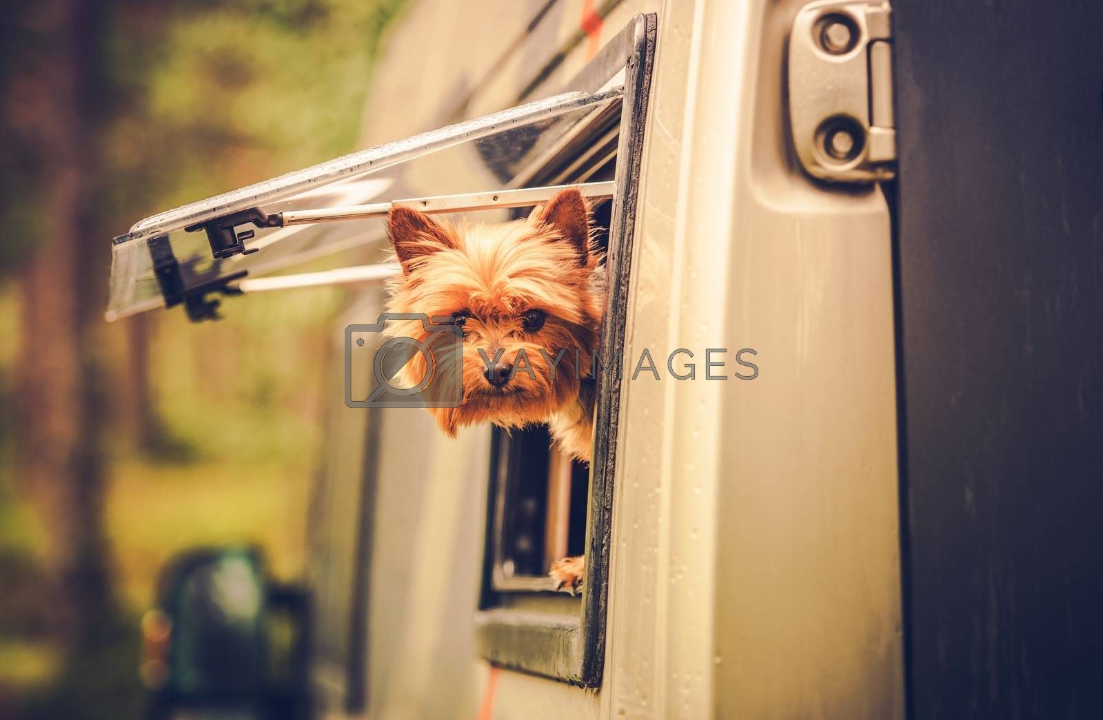 RV Travel with Dog. Motorhome Traveling with Pet. Middle Age Australian Silky Terrier in Motorcoach Window Looking Around.