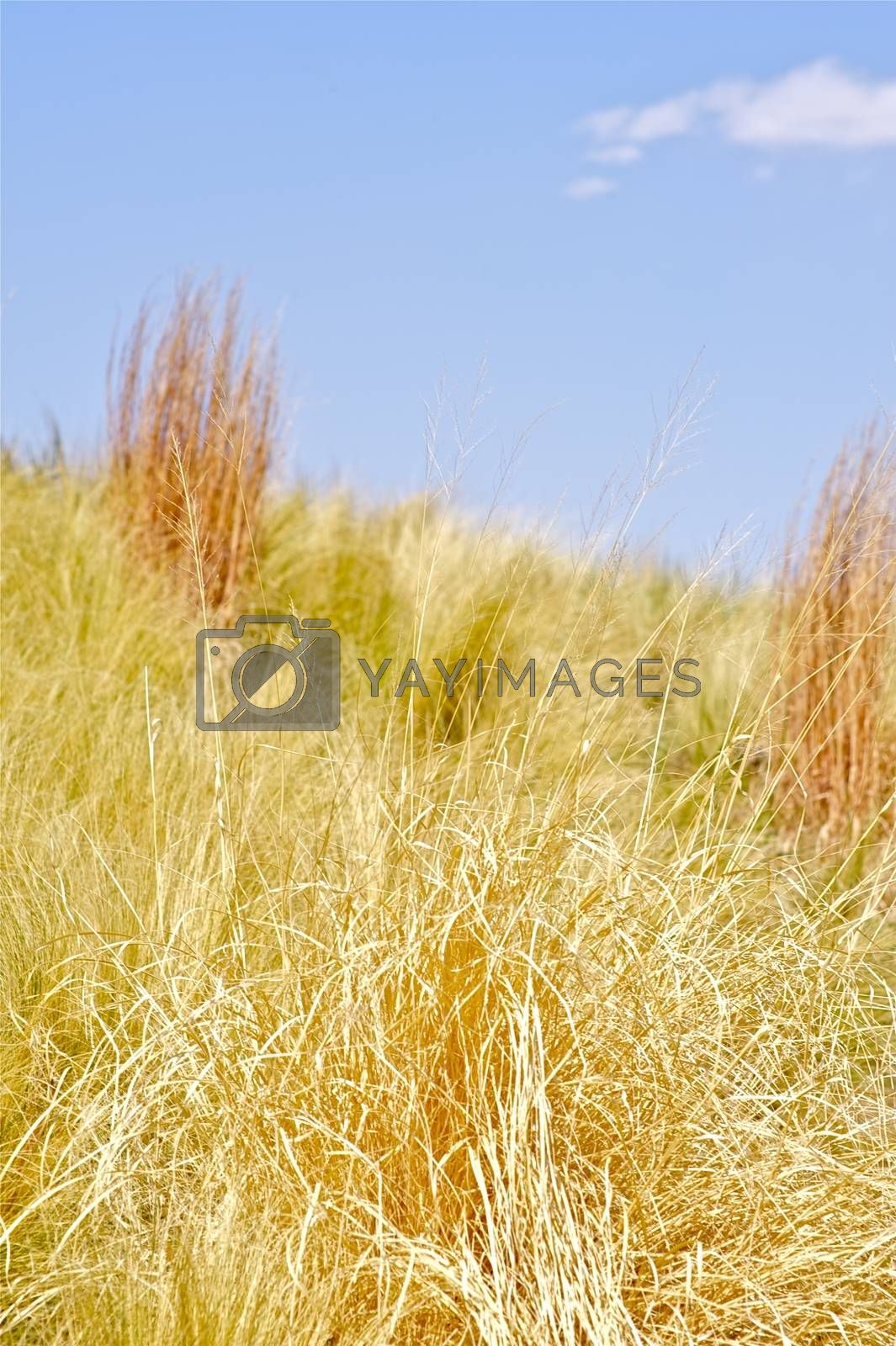 Summer Grasses - Dry Summer Meadows Vertical Photography.