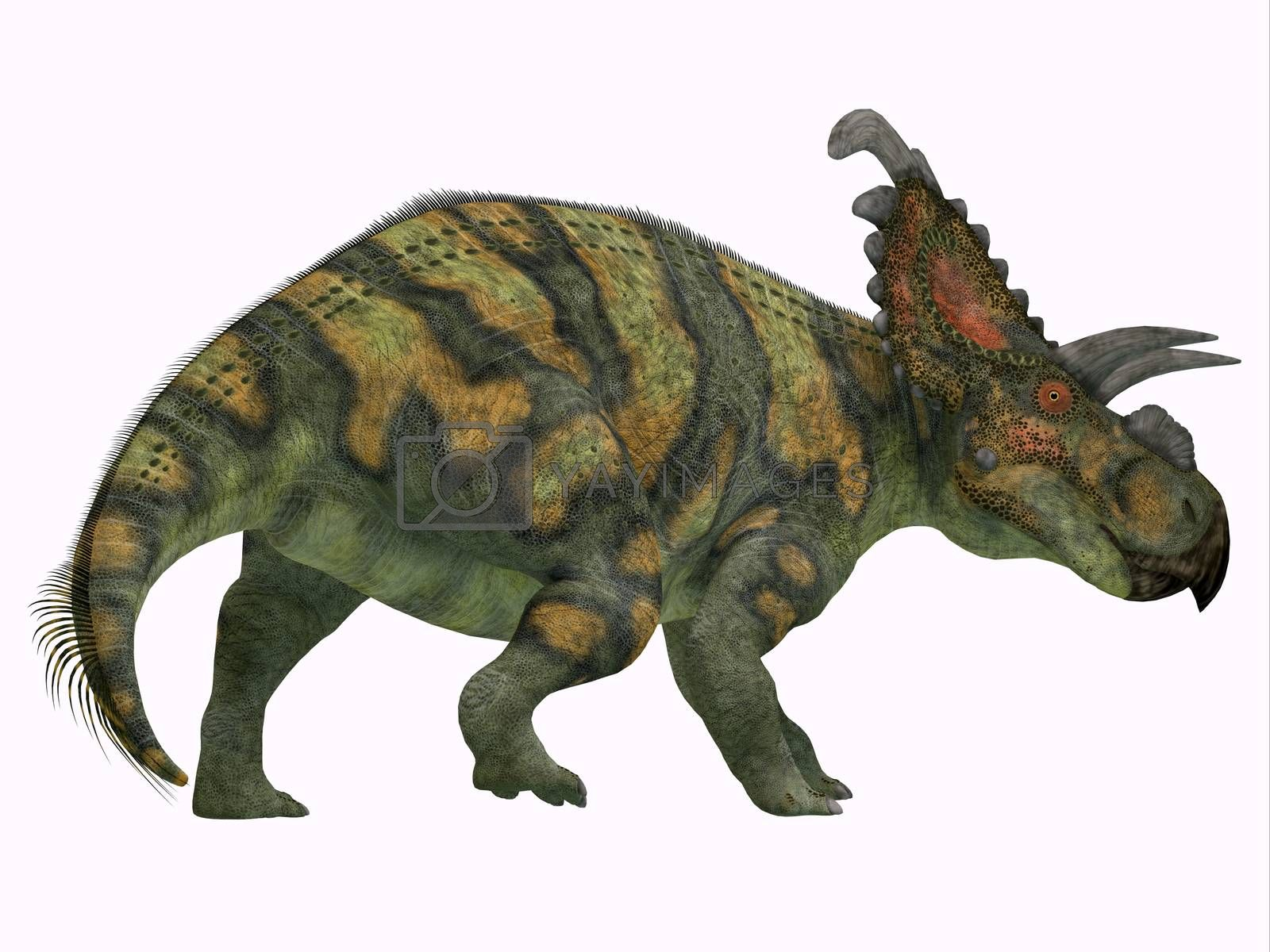 Albertaceratops was a herbivorous Ceratopsian dinosaur that lived in Alberta, Canada in the Cretaceous Period.